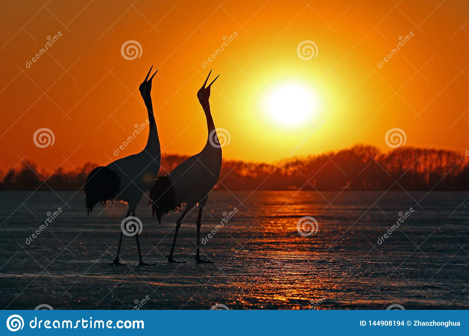 De rood-bekroonde kranen zingen luid in de zonsondergang
