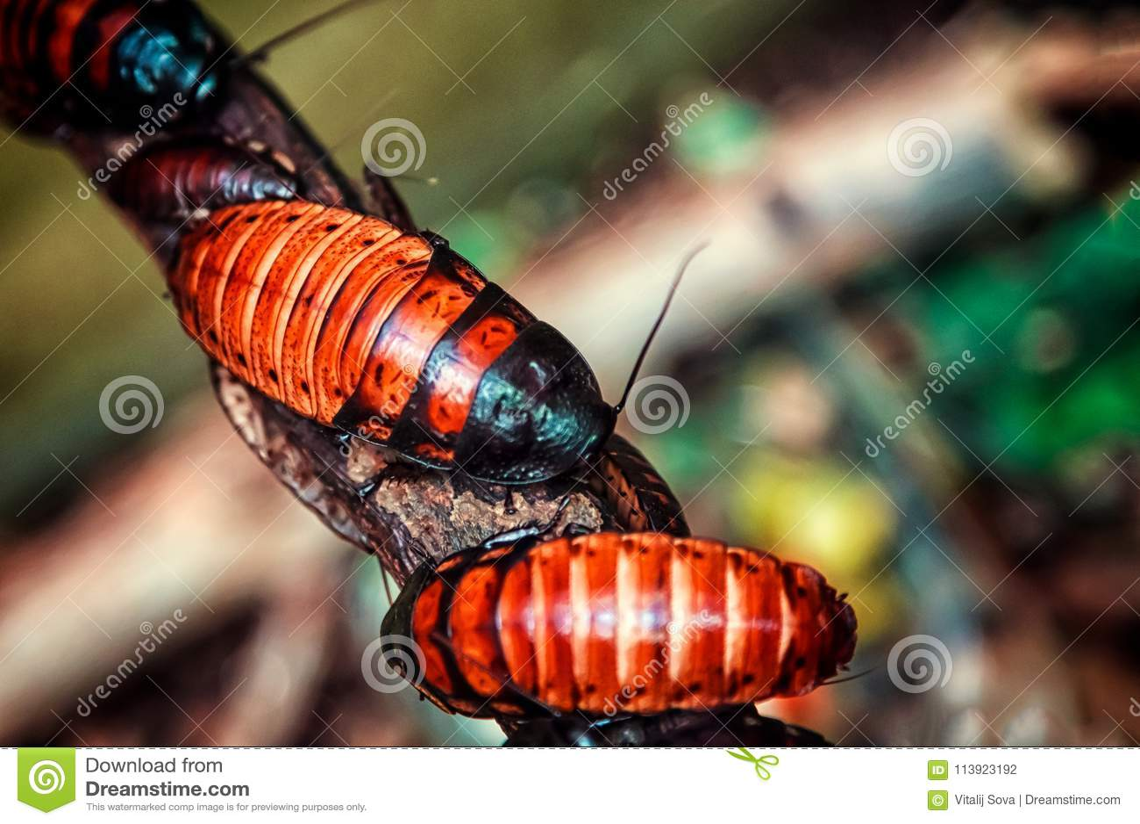 De roodbruine grote kakkerlakken van Madagascar