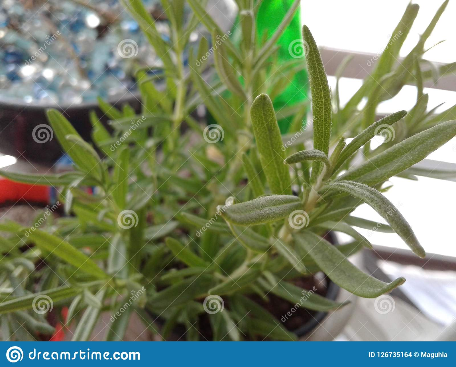 Herbes Aromatiques D Intérieur de rosemary de fin jardin d'herbes aromatiques d'intérieur