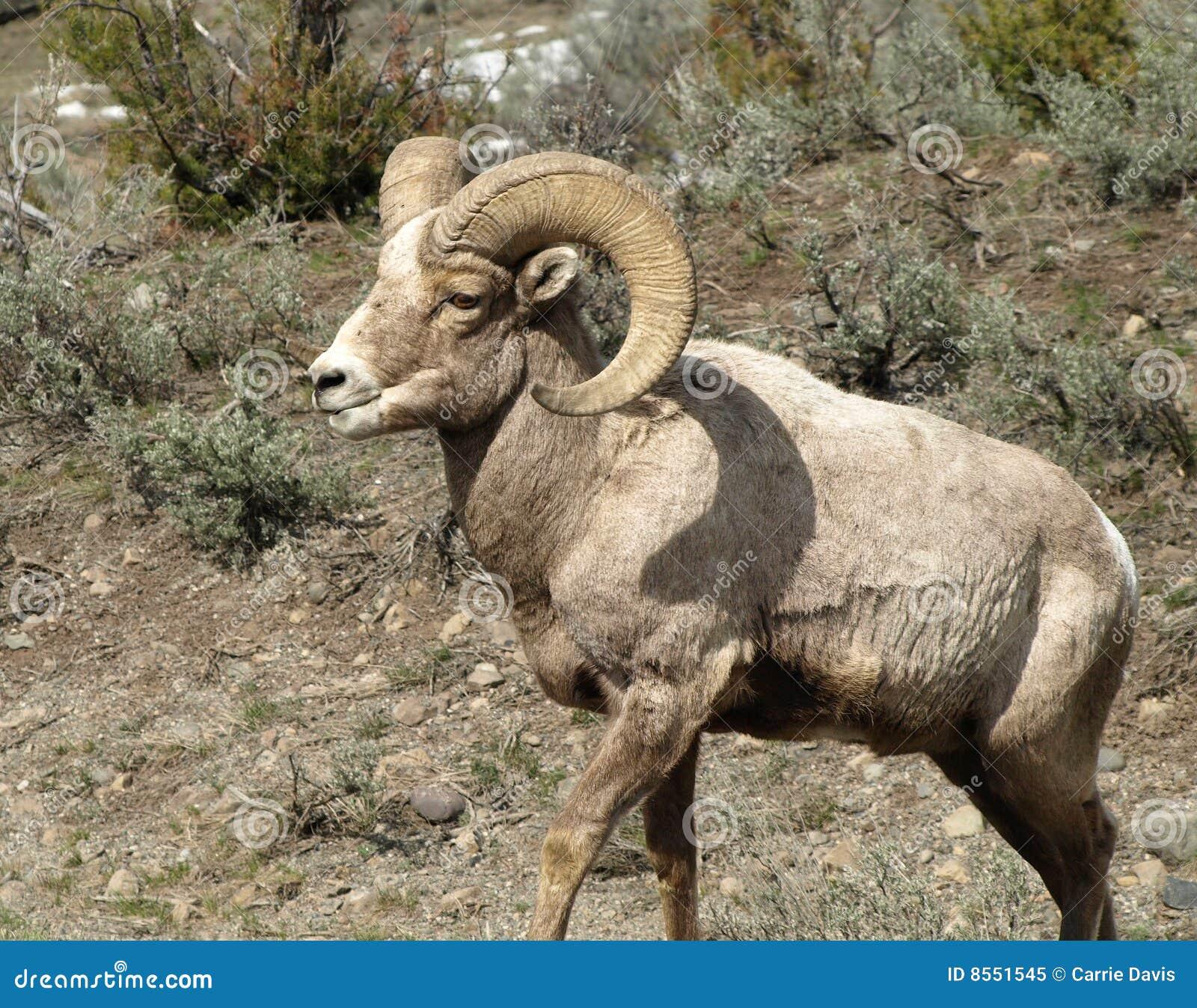 Ram Big Horn >> De Rotsachtige Schapen/de Ram Van De Hoorn Van De Berg Grote Royalty-vrije Stock Foto ...