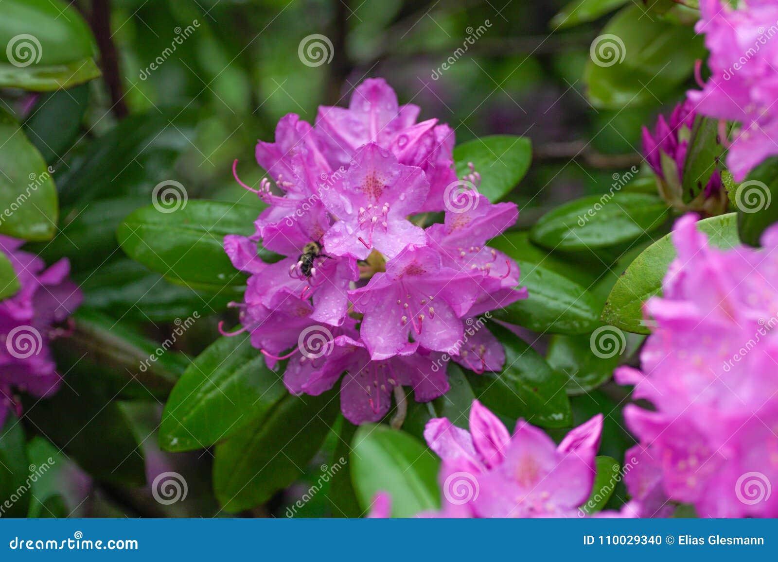 De roze bloemen van de Azalea