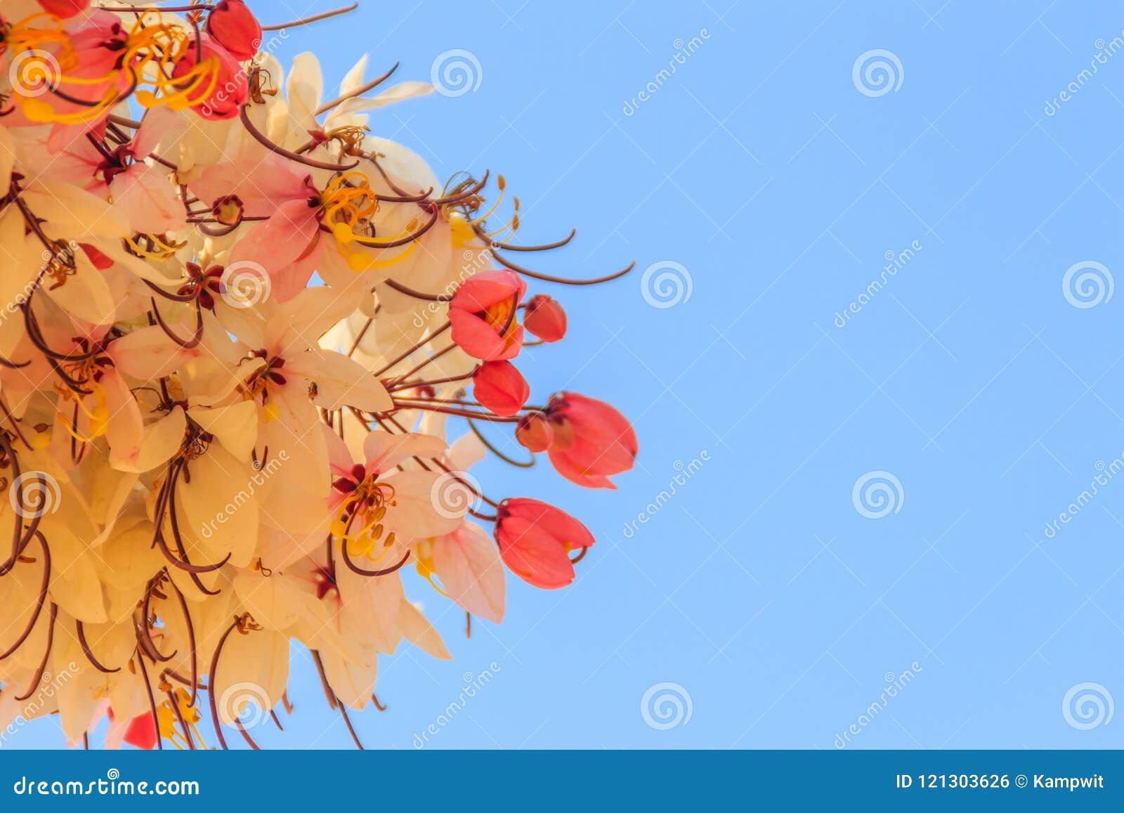 De roze bloemen van de doucheboom (Kassieboombakeriana) op blauwe hemelachtergrond Kassieboombakeriana, algemeen genoemd Wensend