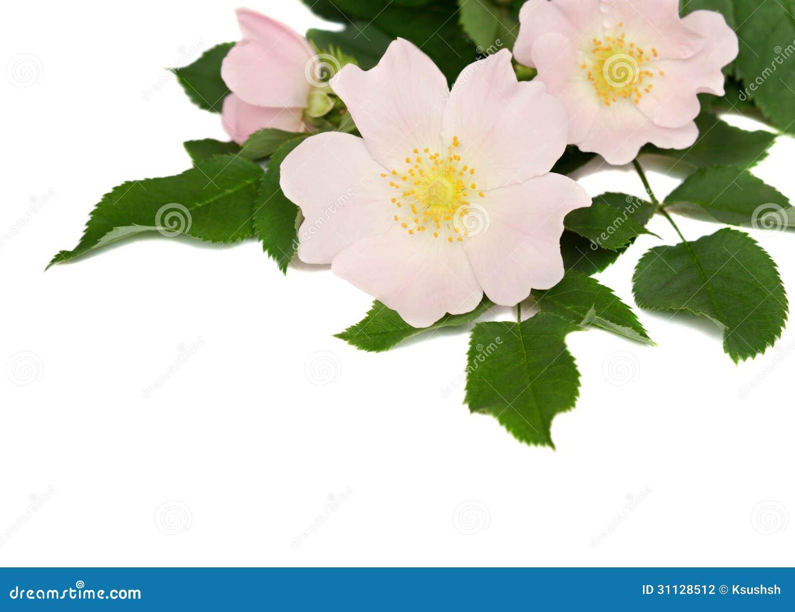 Bedwelming De Roze Bloemen Van Wildernis Namen Toe Stock Foto - Afbeelding @UL54