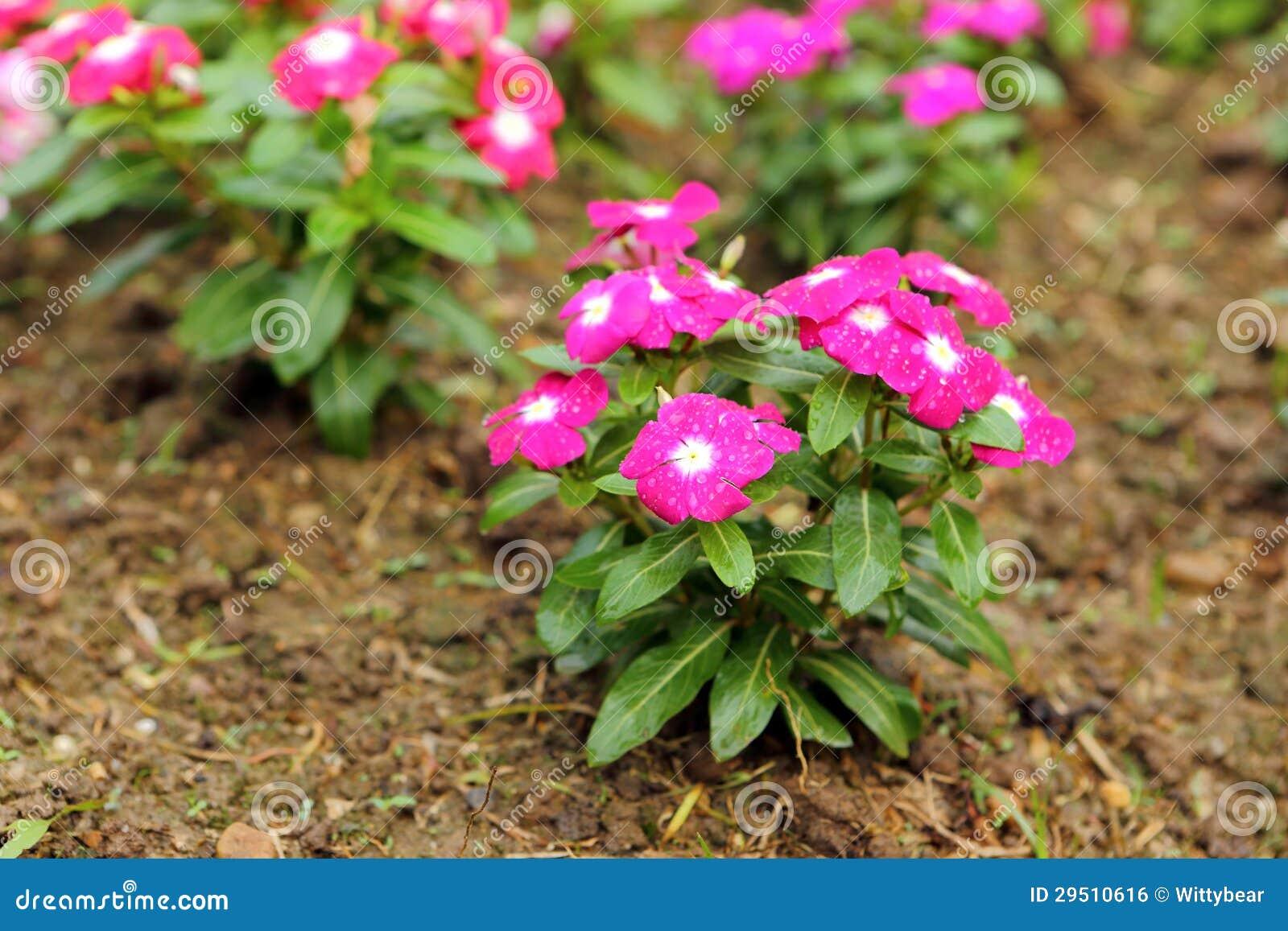 De roze bloesem van de bloemlente in tuin