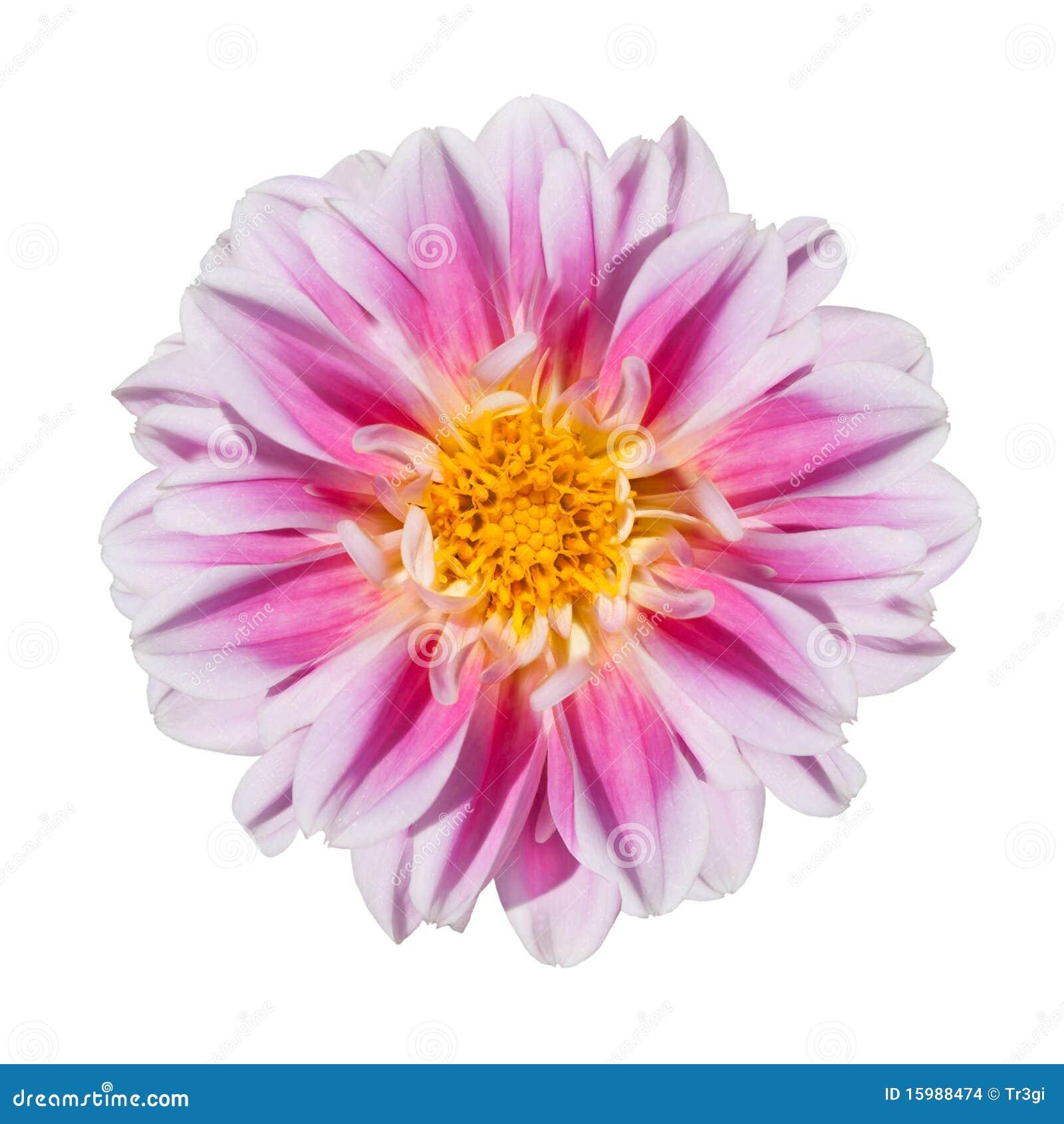 De roze en Witte Bloem van de Dahlia die op Wit wordt geïsoleerde