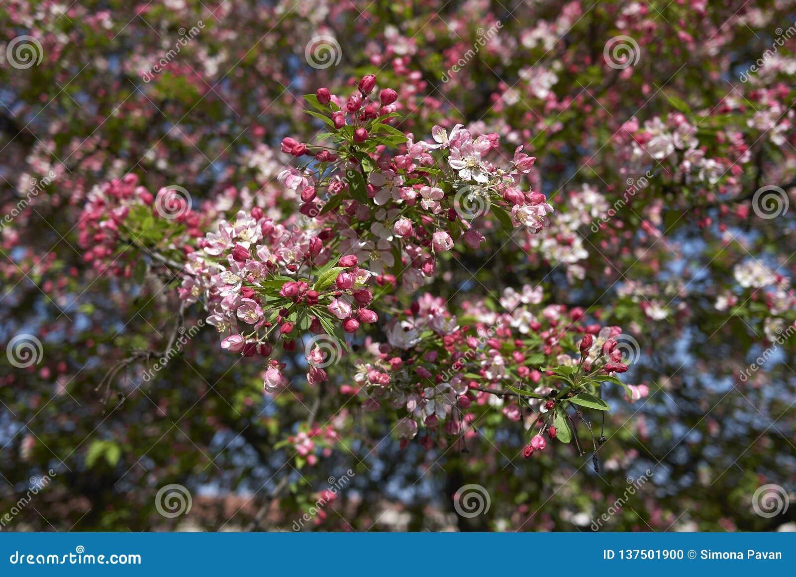 De roze en witte bloesem van Malusfloribunda