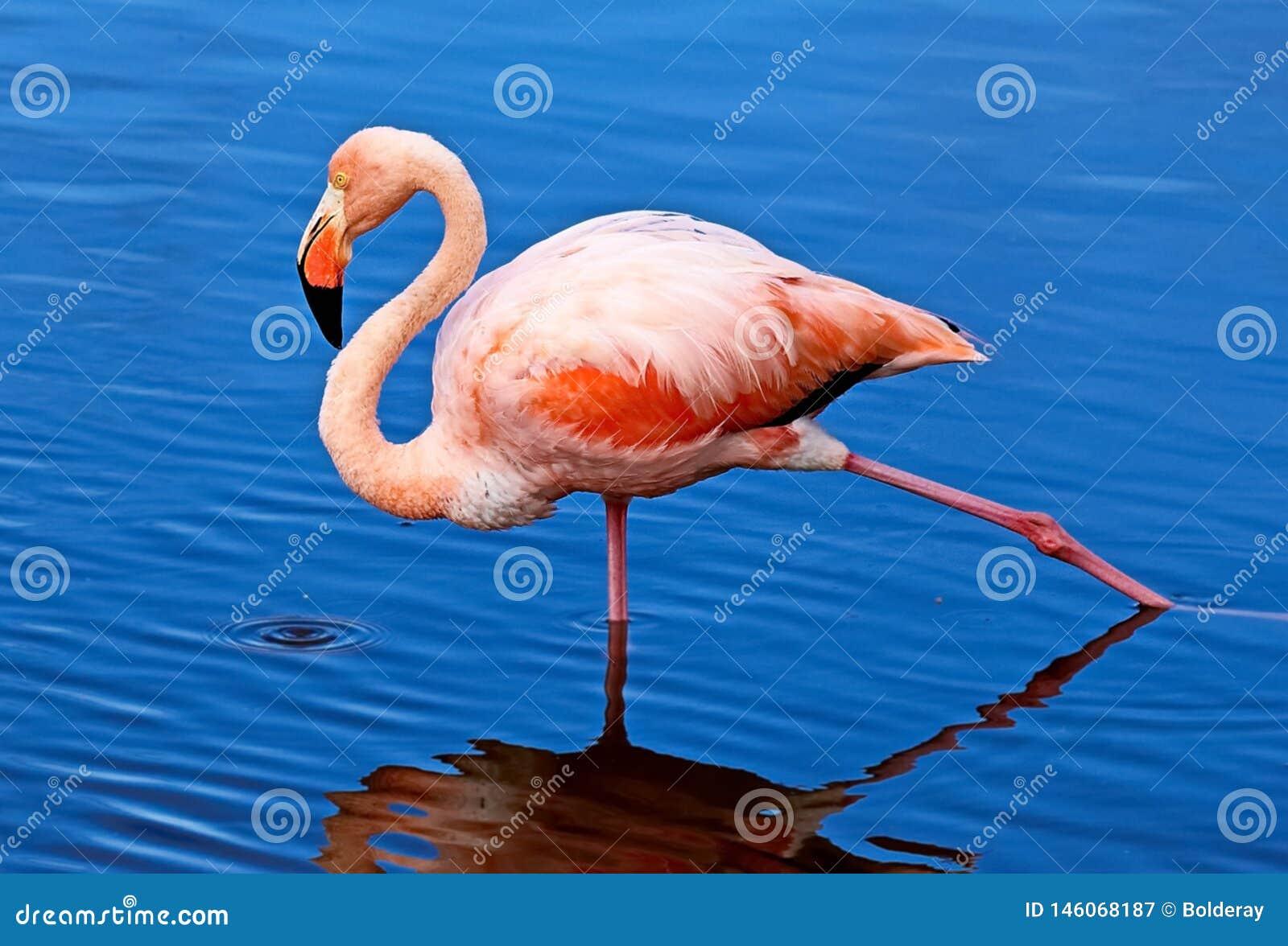 De roze flamingo lat Phoenicopterus Schoonheid, gunst, een speciale charme en een uniciteit van flamingo s