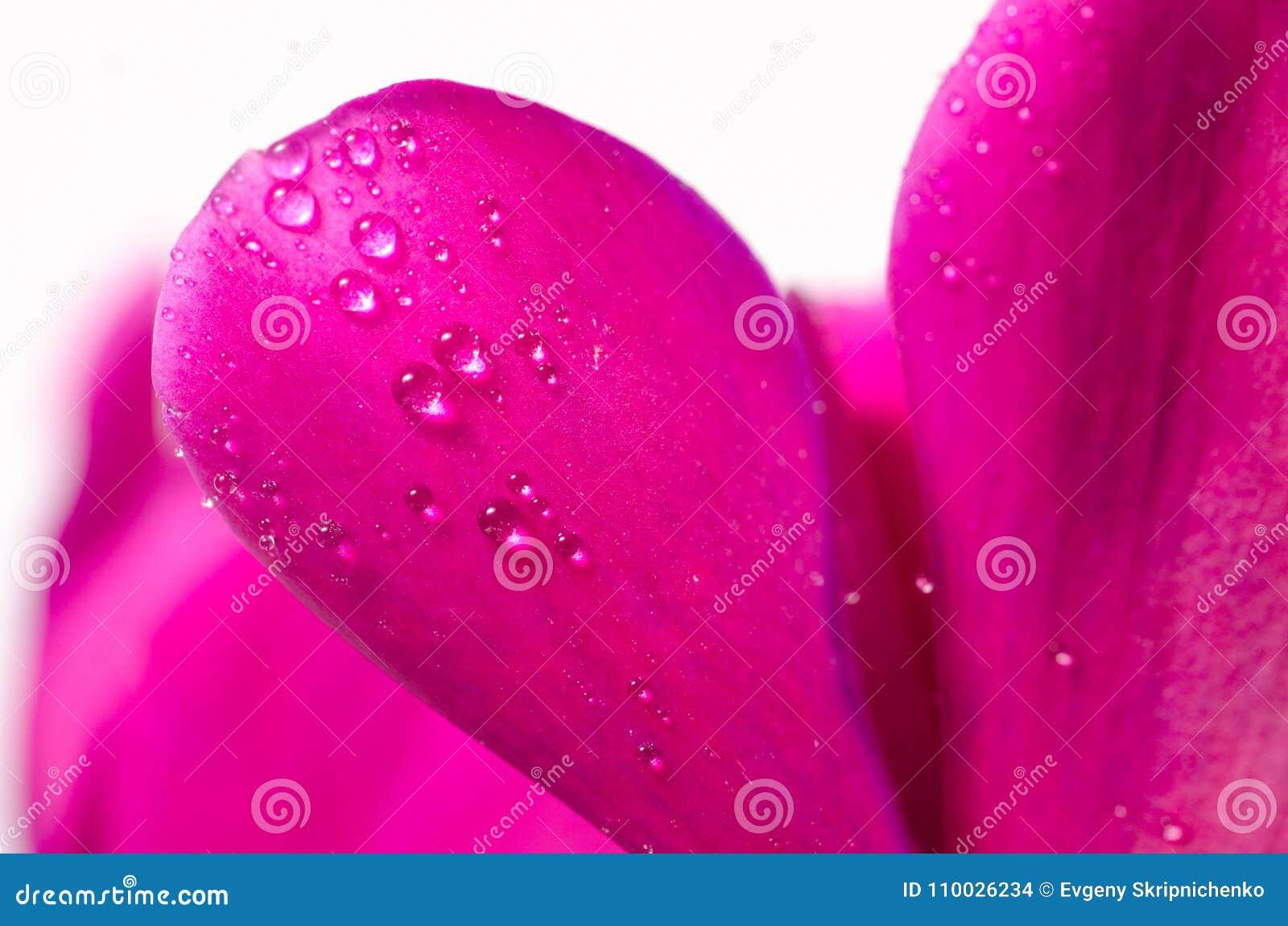 De roze macro van de bloemcyclaam
