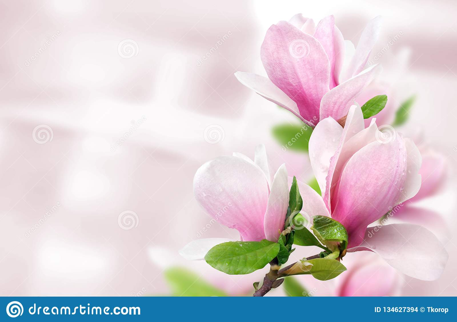 De roze magnolia bloeit achtergrondmalplaatje