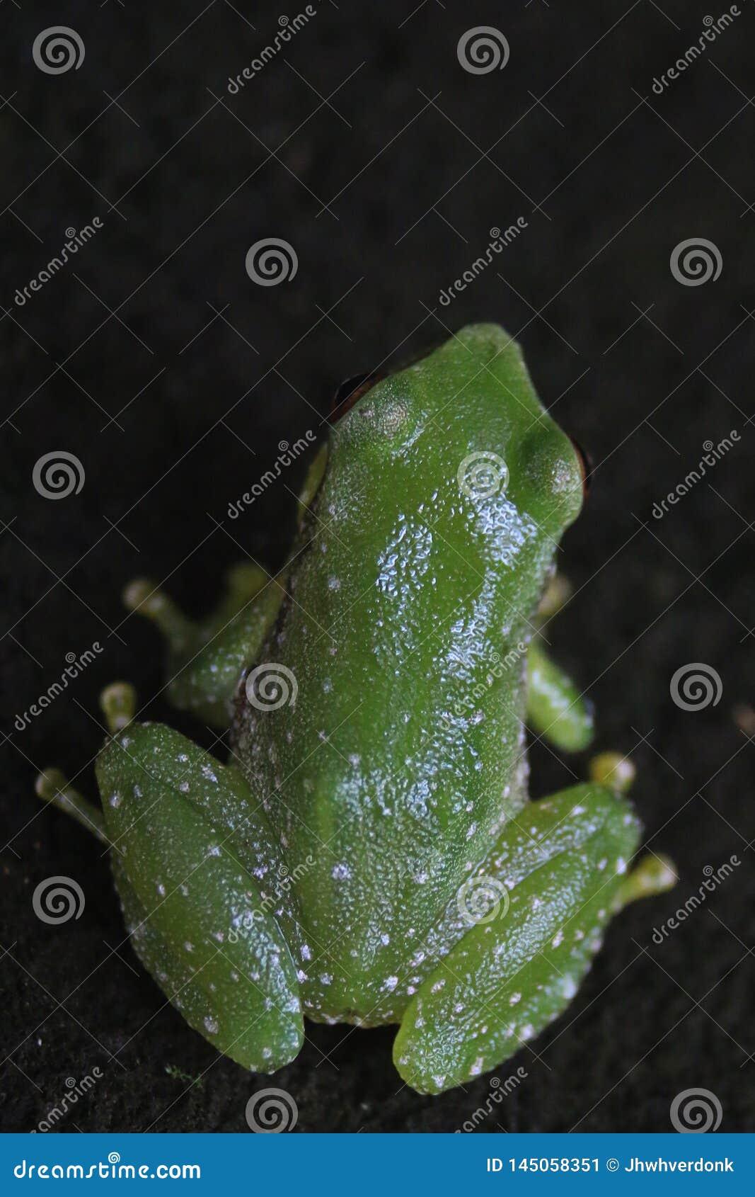 De rug van een kleine groene kikker met kleine witte vlekken