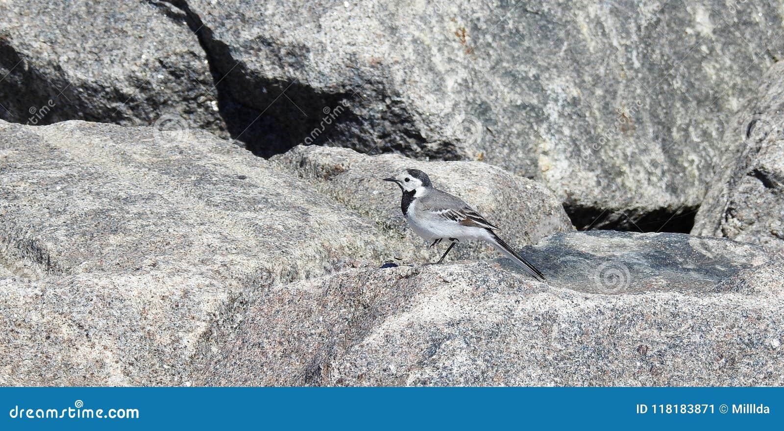 De rust van de kwikstaartvogel op steen, Litouwen