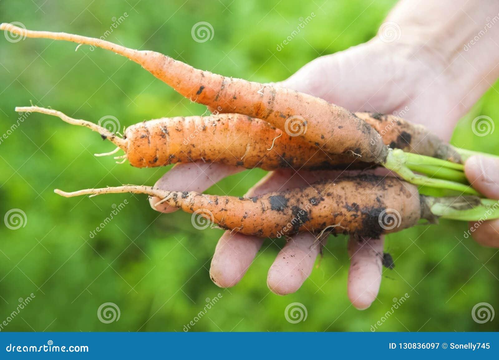 De rynkiga händerna av en äldre person att rymma nya morötter med jord och blast Closeupmorotskörd i händerna av ett äldre