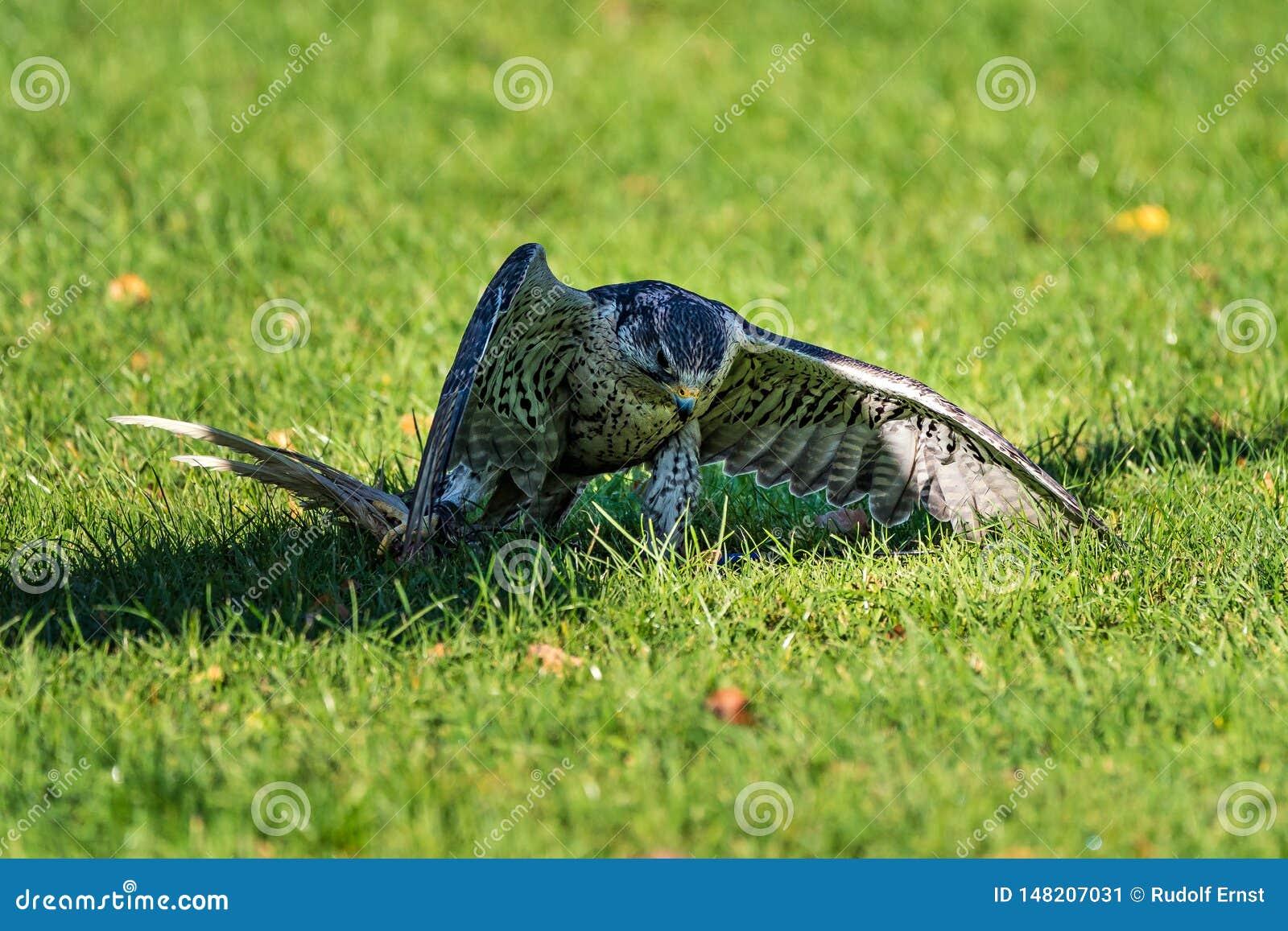 De sakervalk, Falco cherrug in een Duits aardpark