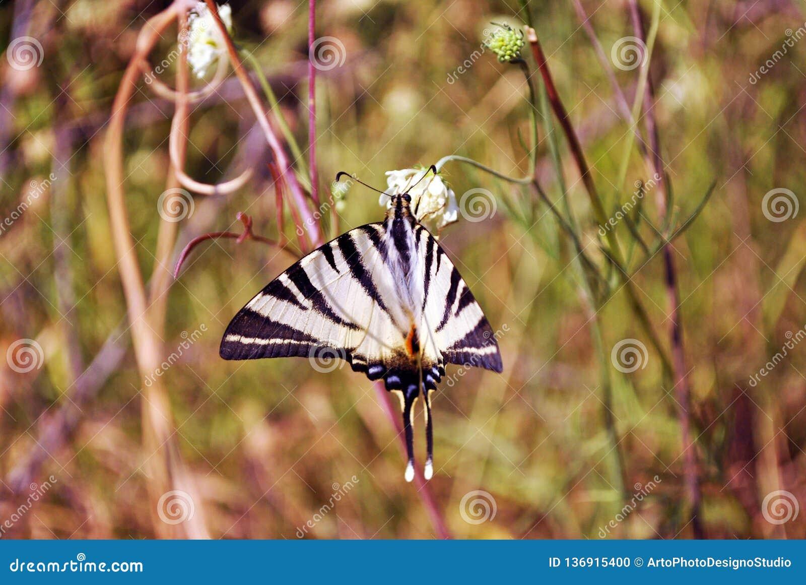 De schaarse podaliriuszitting van swallowtailiphiclides op witte bloem, geel gras