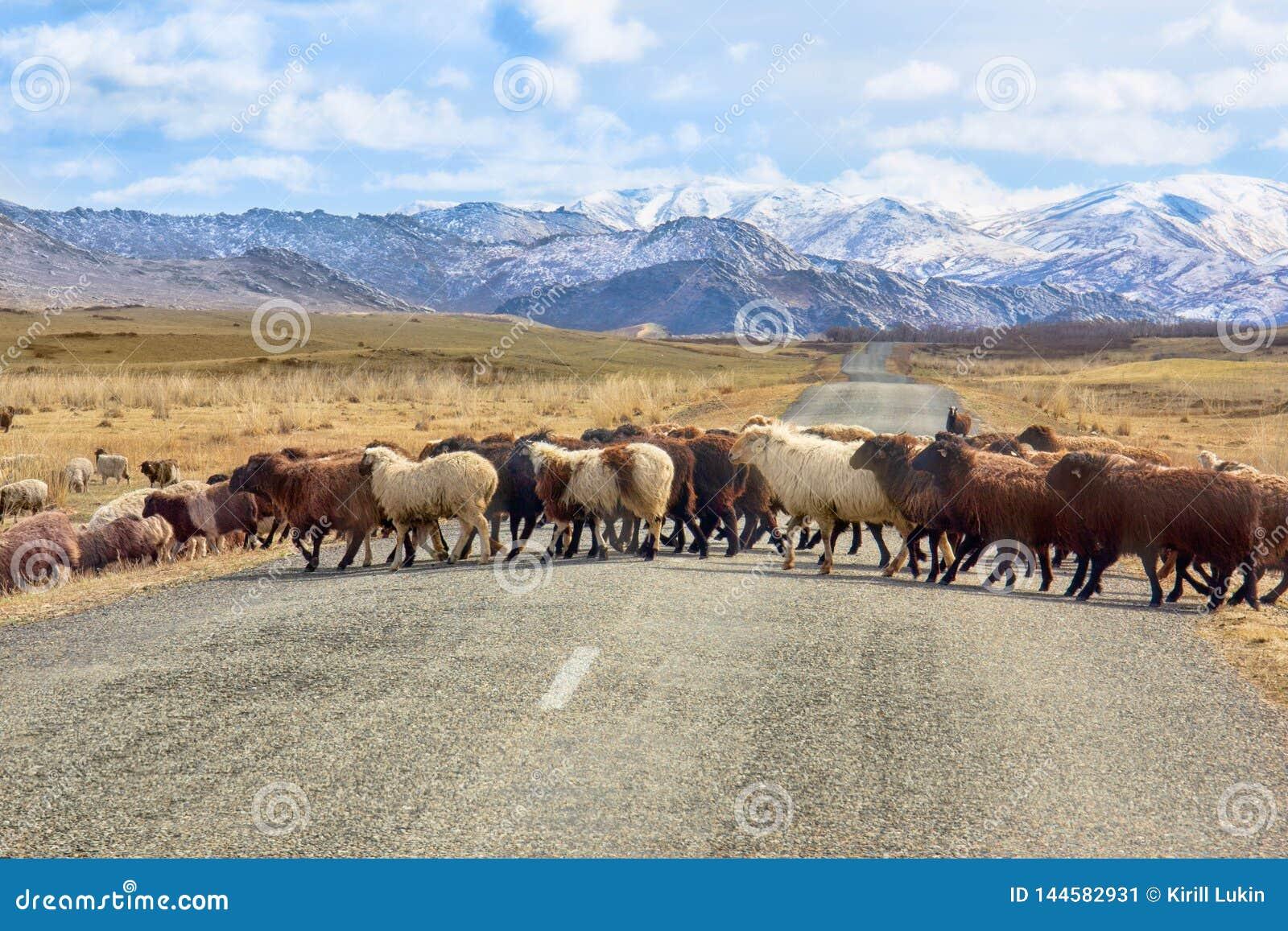 De schapen kruisen de weg