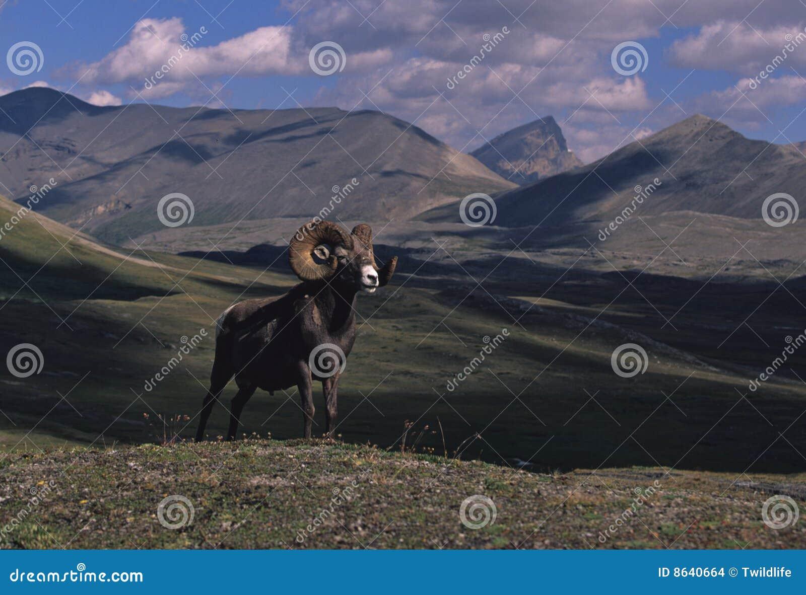 De Schapen van Bighorn