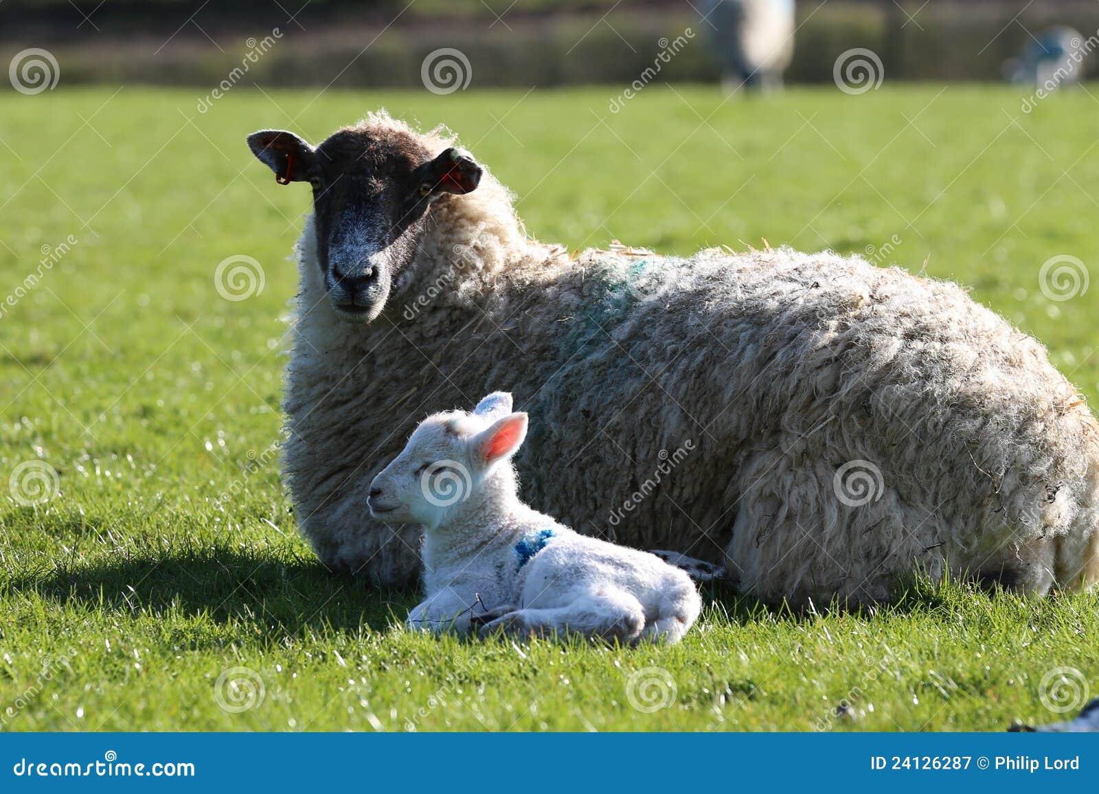 De schapen van de ooi met lamp