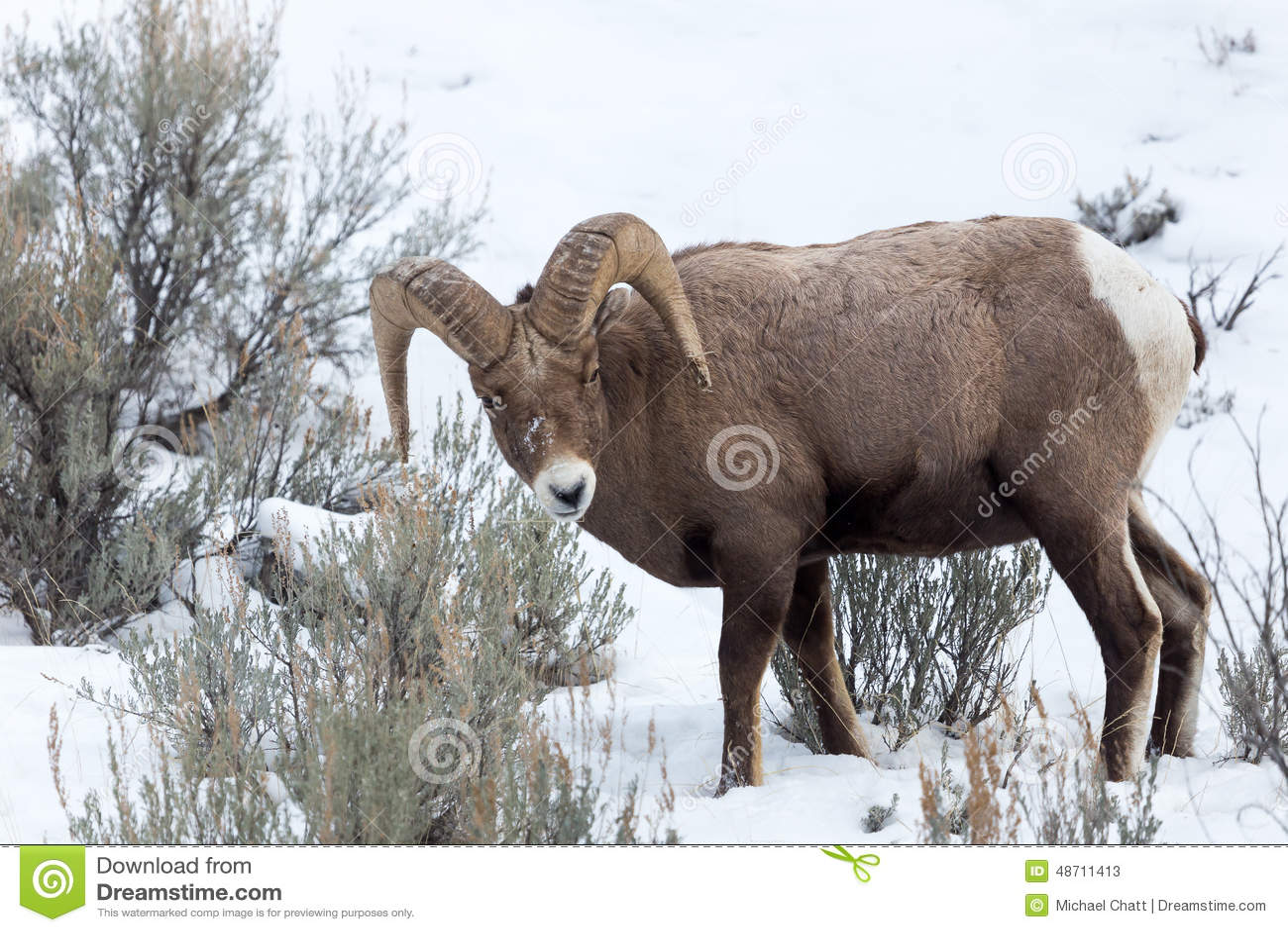 De Schapen van het Bighorn