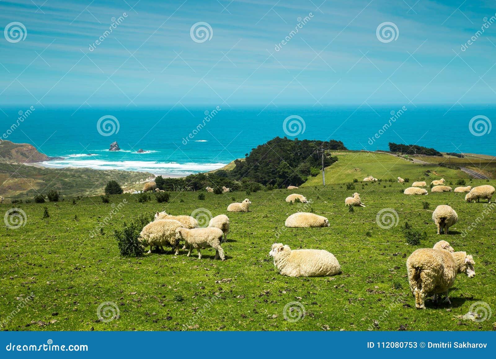 De schapen van Nieuw Zeeland op de heuvel dichtbij de oceaan
