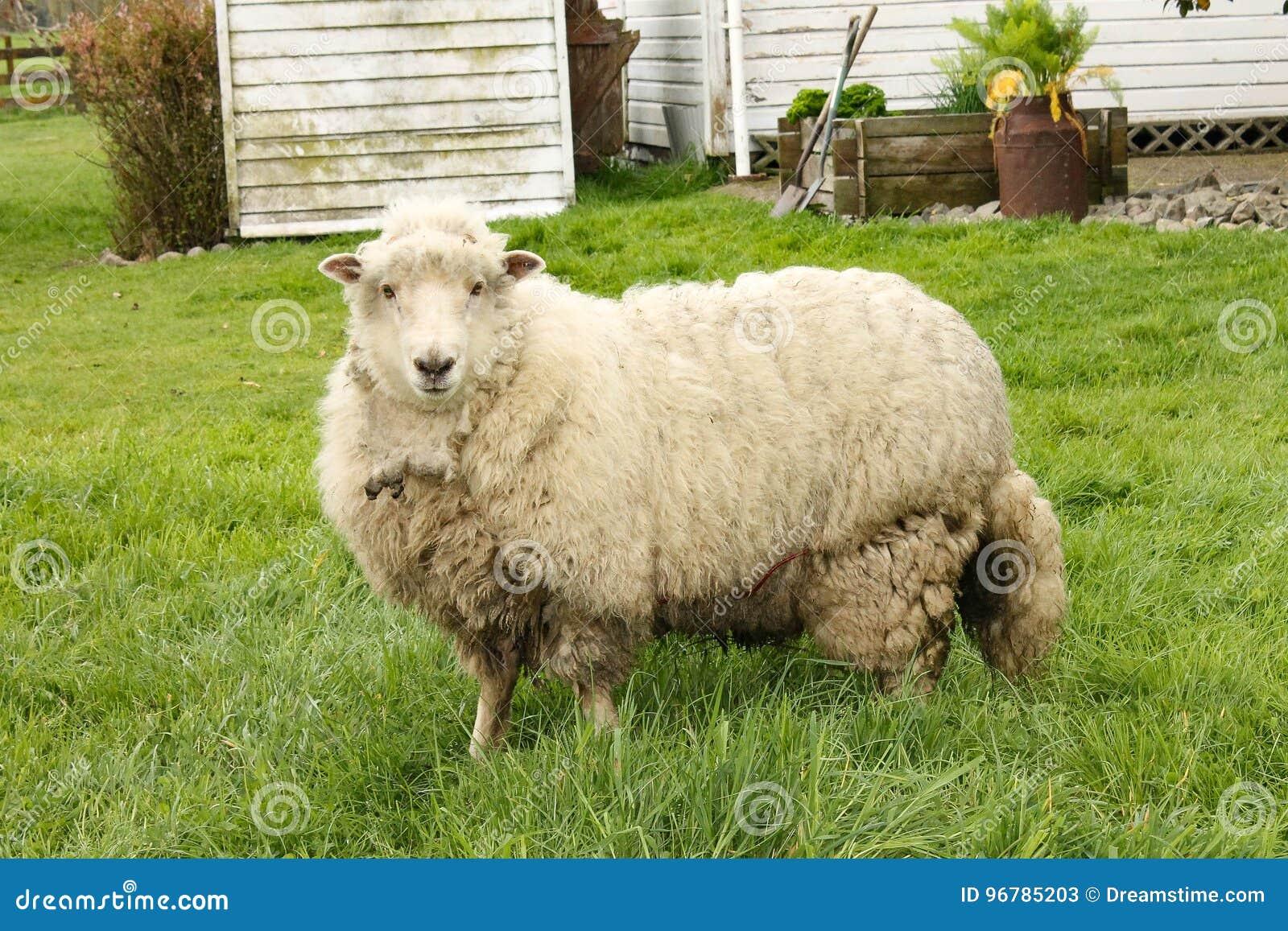 De schapen van Nieuw Zeeland ` s