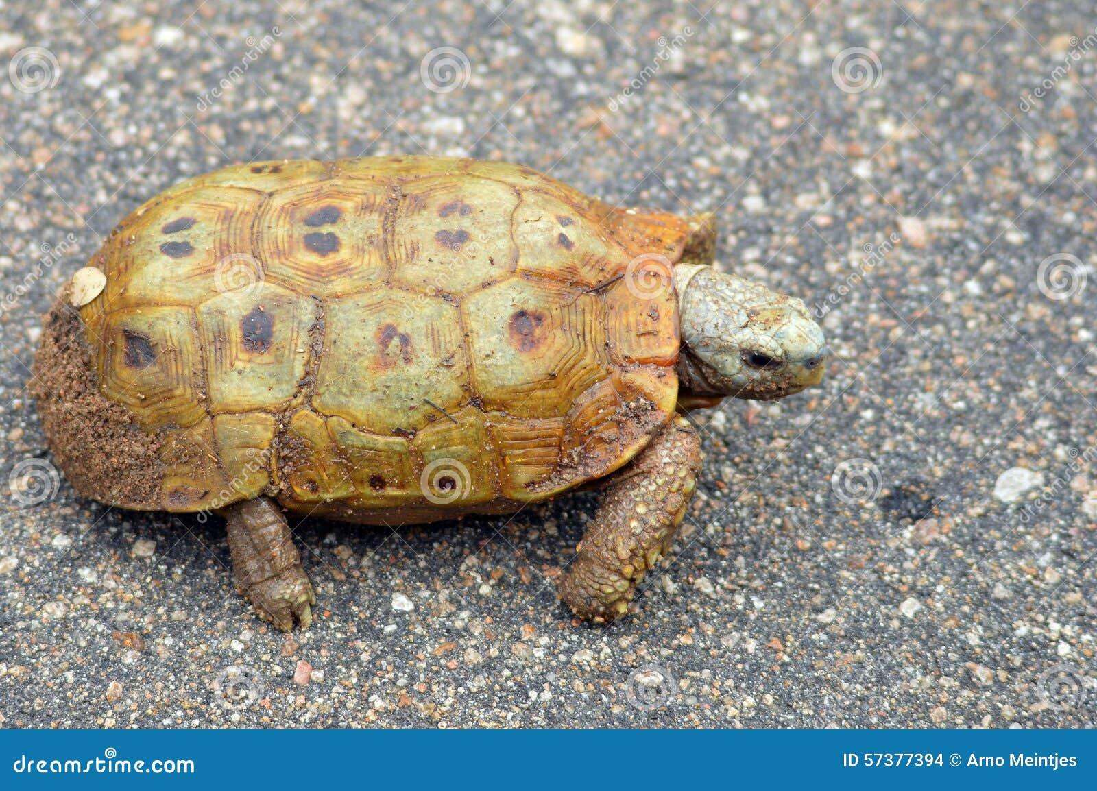 De scharnier-achterschildpad van de klok (Kinixys-belliana)