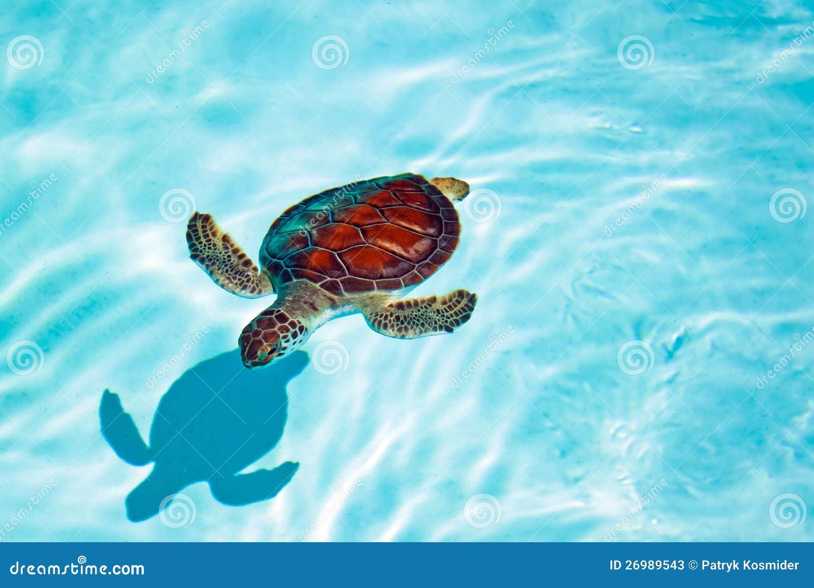 De schildpad van de baby in het water