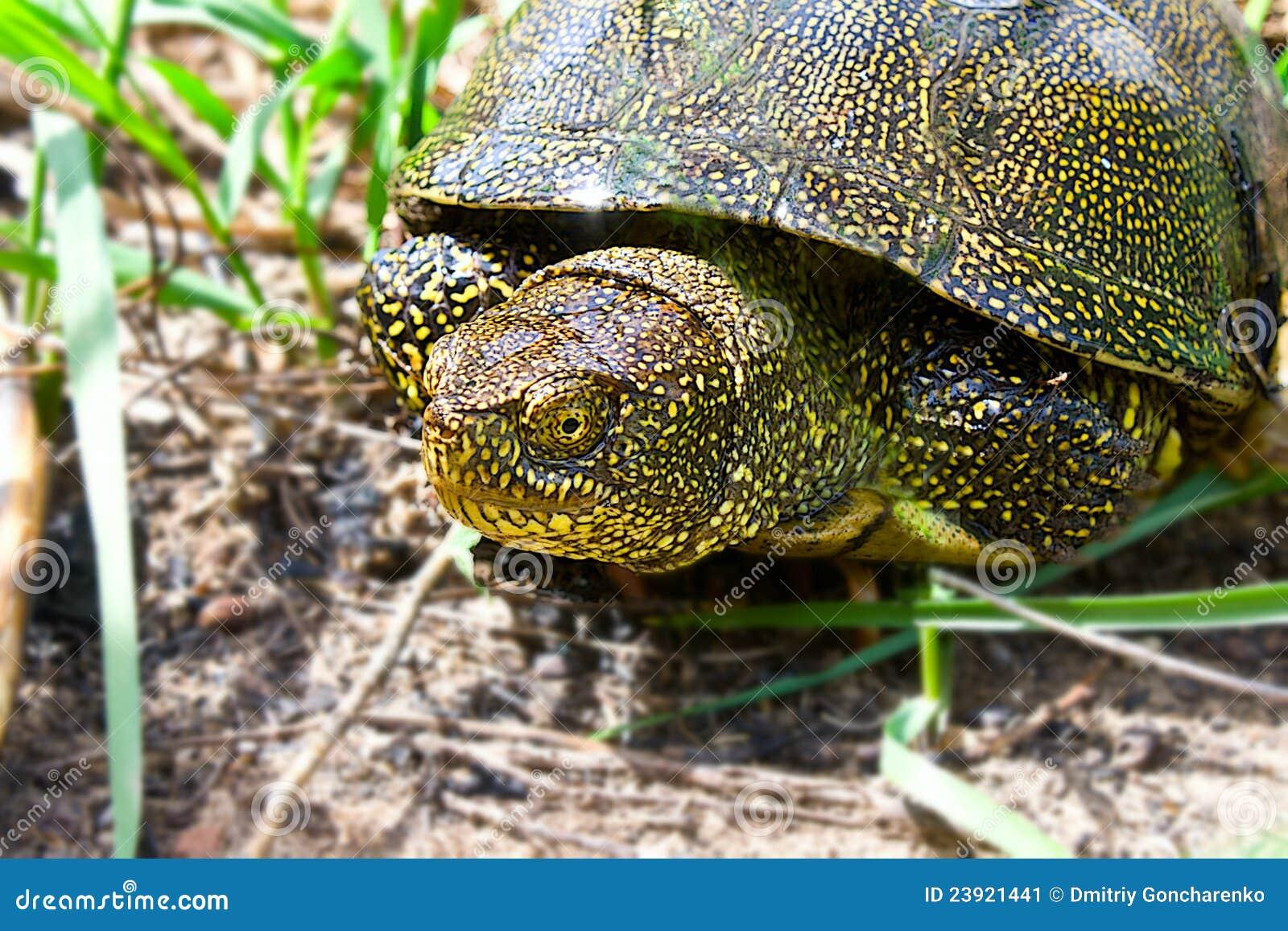 De schildpad van de rivier