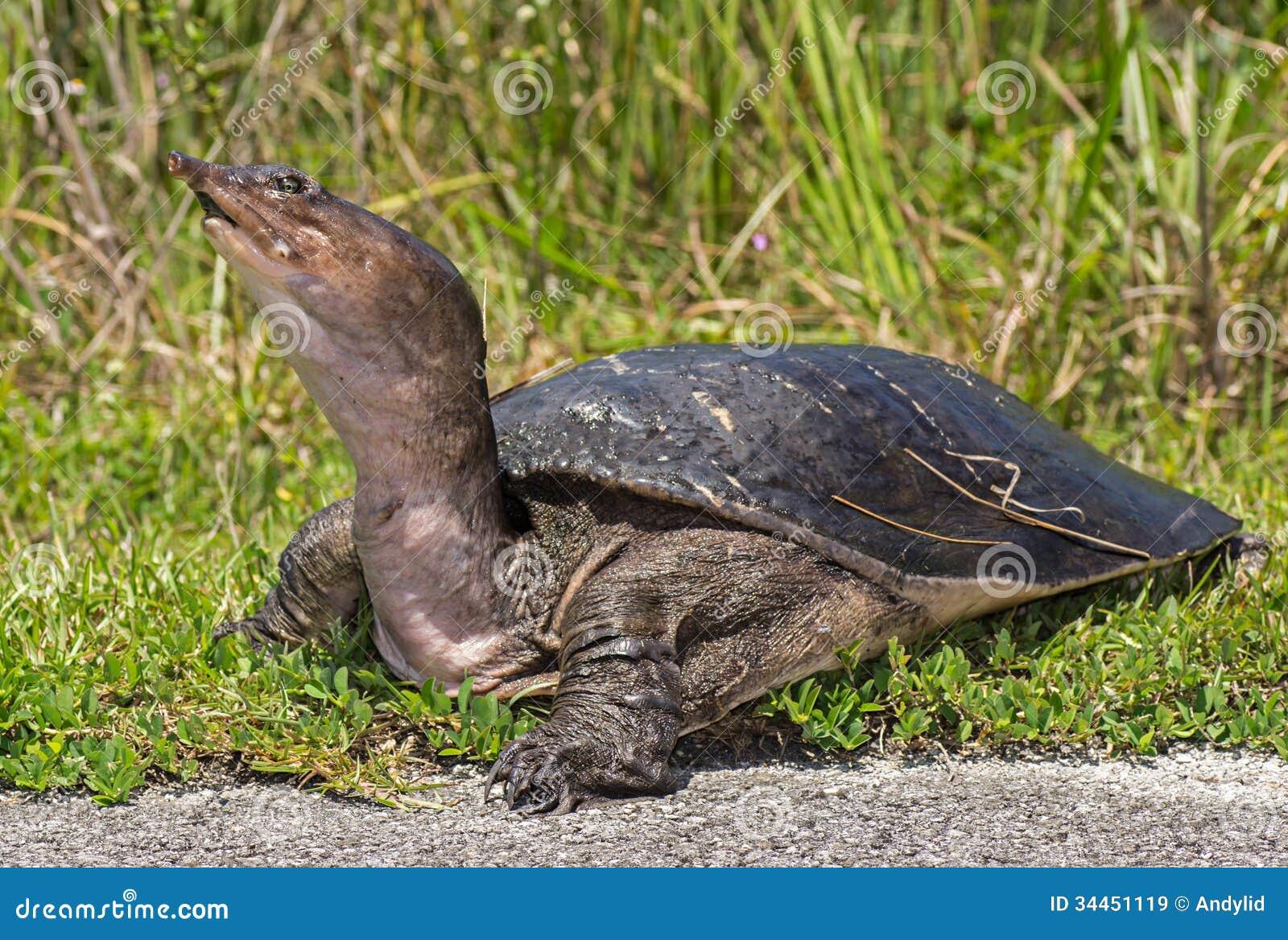 De Schildpad van Florida Softshell