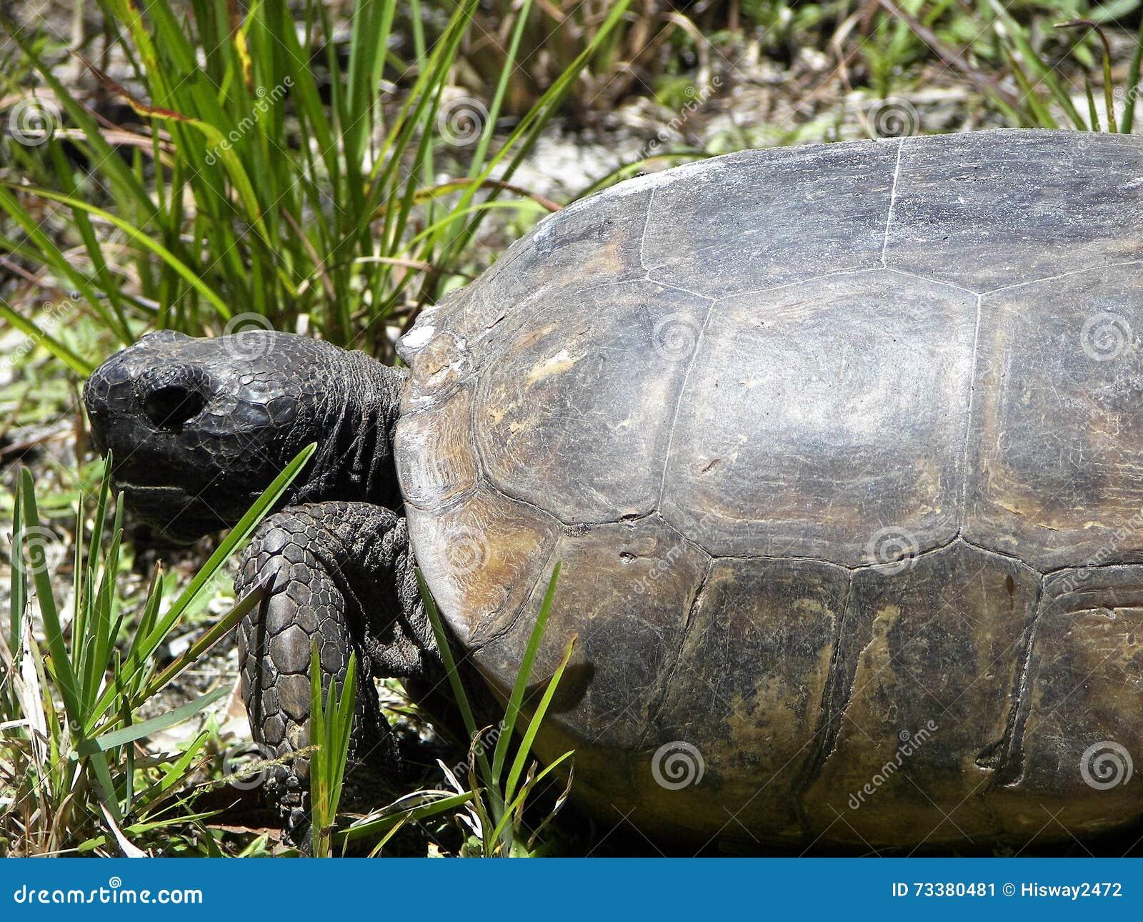 De schildpad van gopher