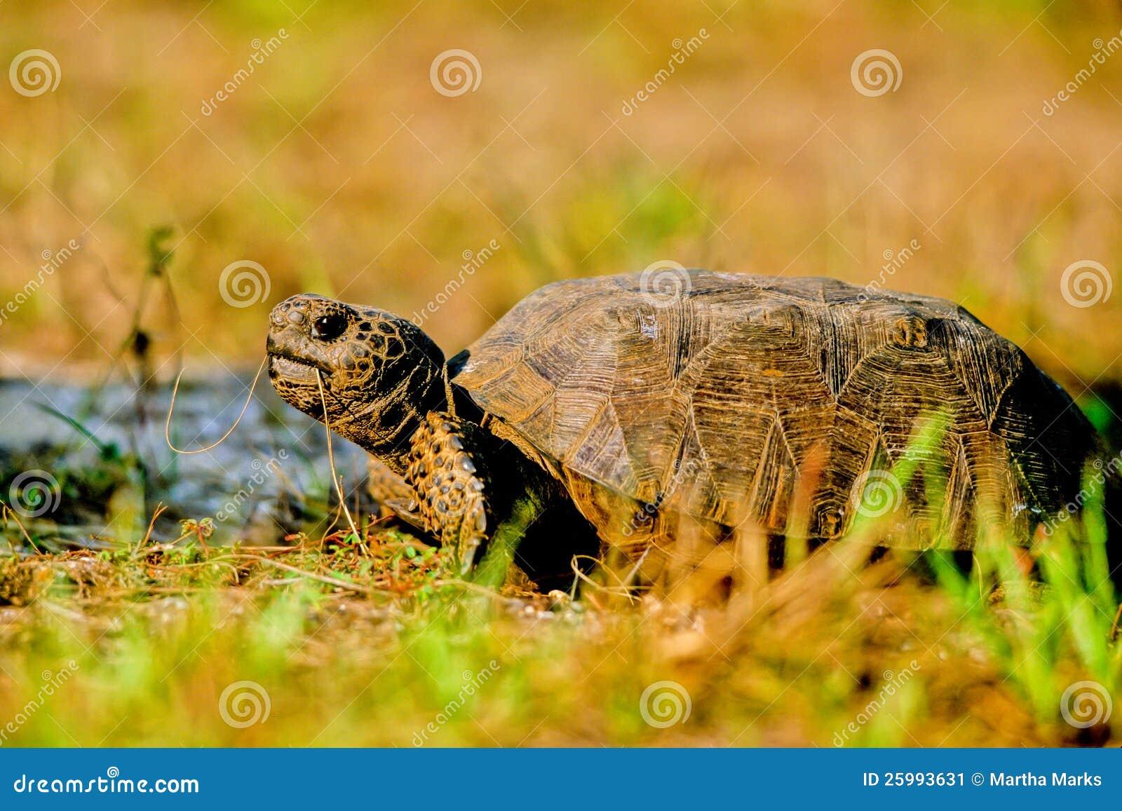 De Schildpad van gopher, polyphemus Gopherus