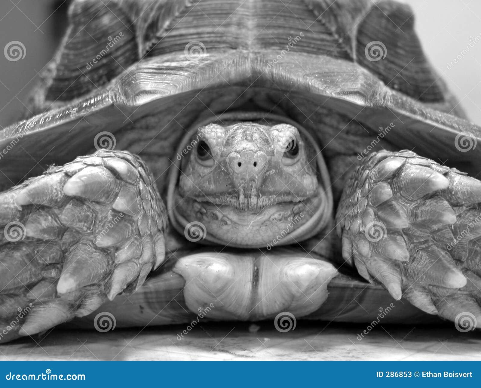 De schildpad van Sulcata