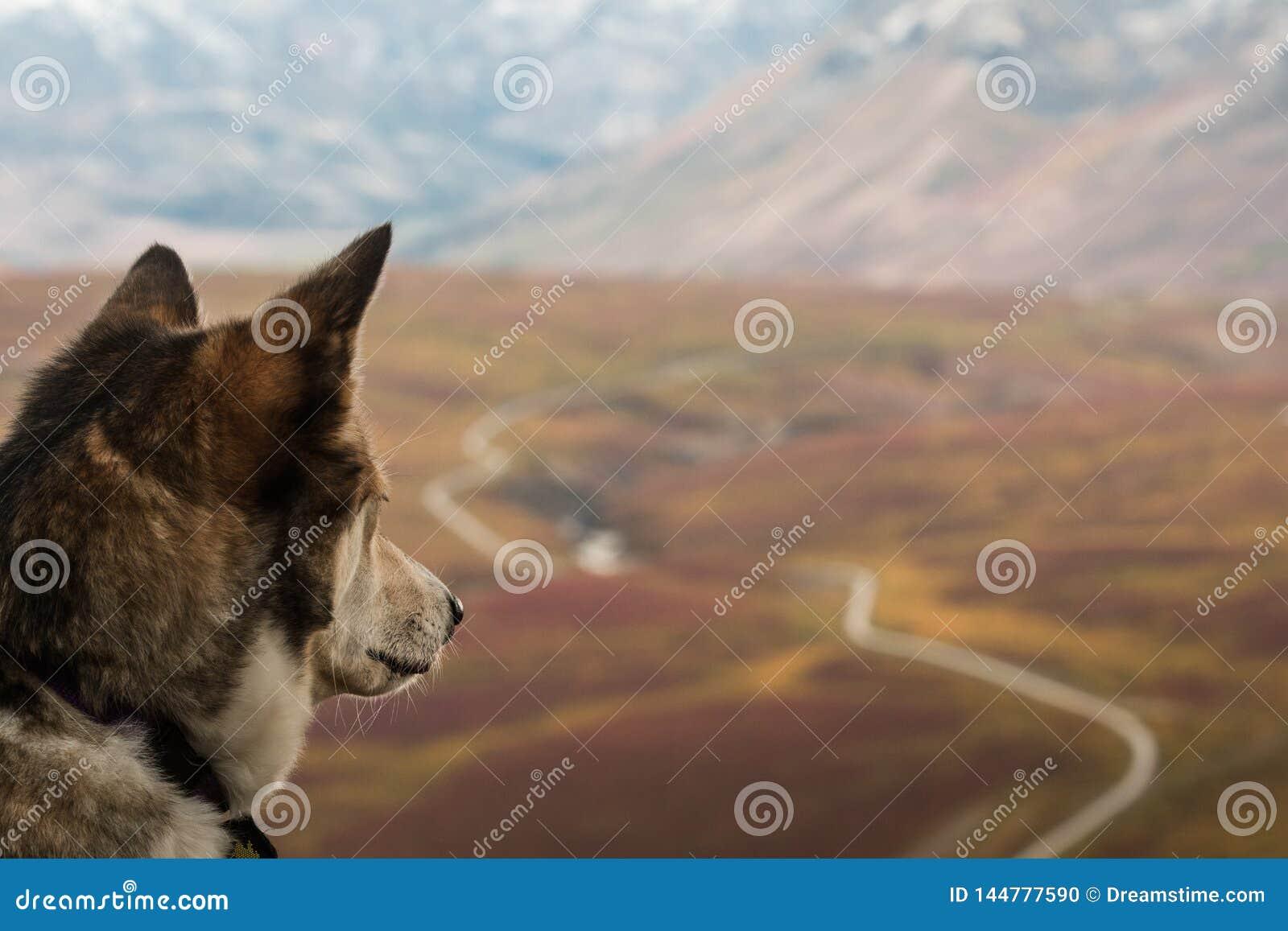 De schor hond overweegt de mening over de Dempster-weg, Yukon, Canada