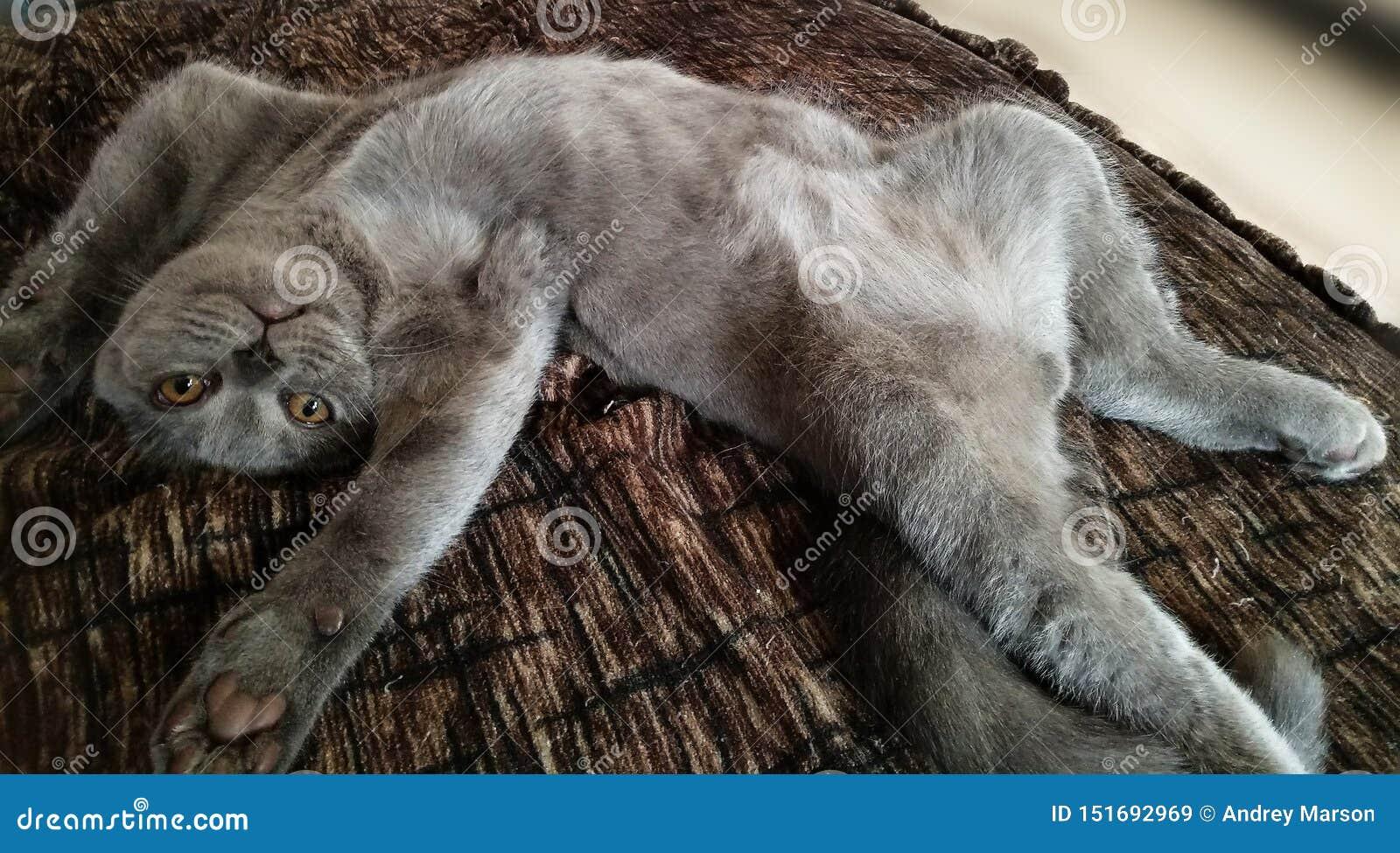 De Schotse blauwe kat ligt op zijn rug Poot aan de kanten