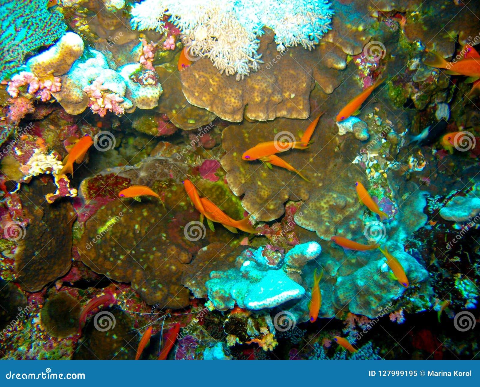De scuba-duiker is onderwater met een vlak rood koraal De vrouwen draagt in vrij duikenmateriaal: geel masker, regelgever en blau