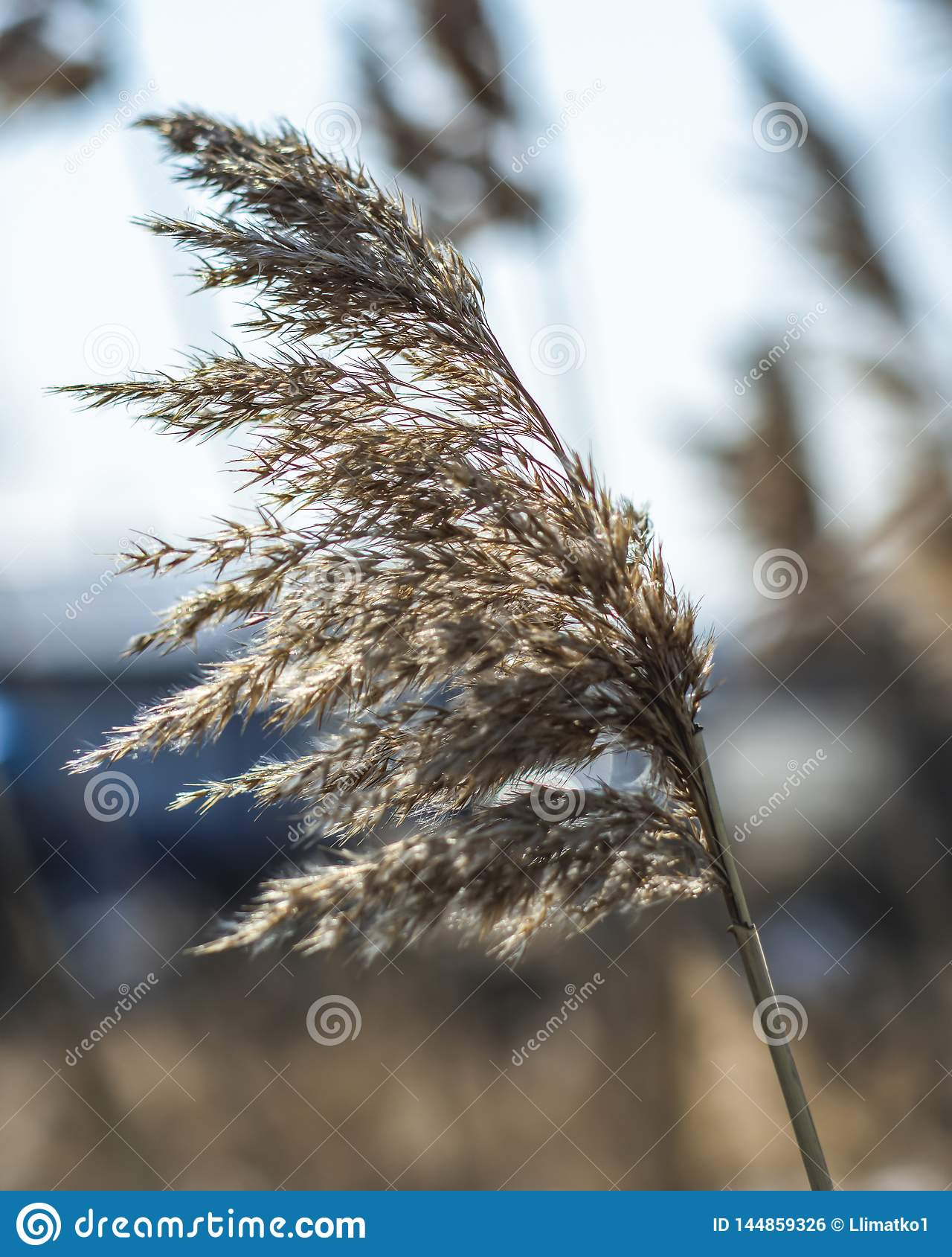 De selectieve zachte nadruk van droog gras, riet, besluipt, in de wind door de lichte, horizontale, vage achtergrond Aard, de len