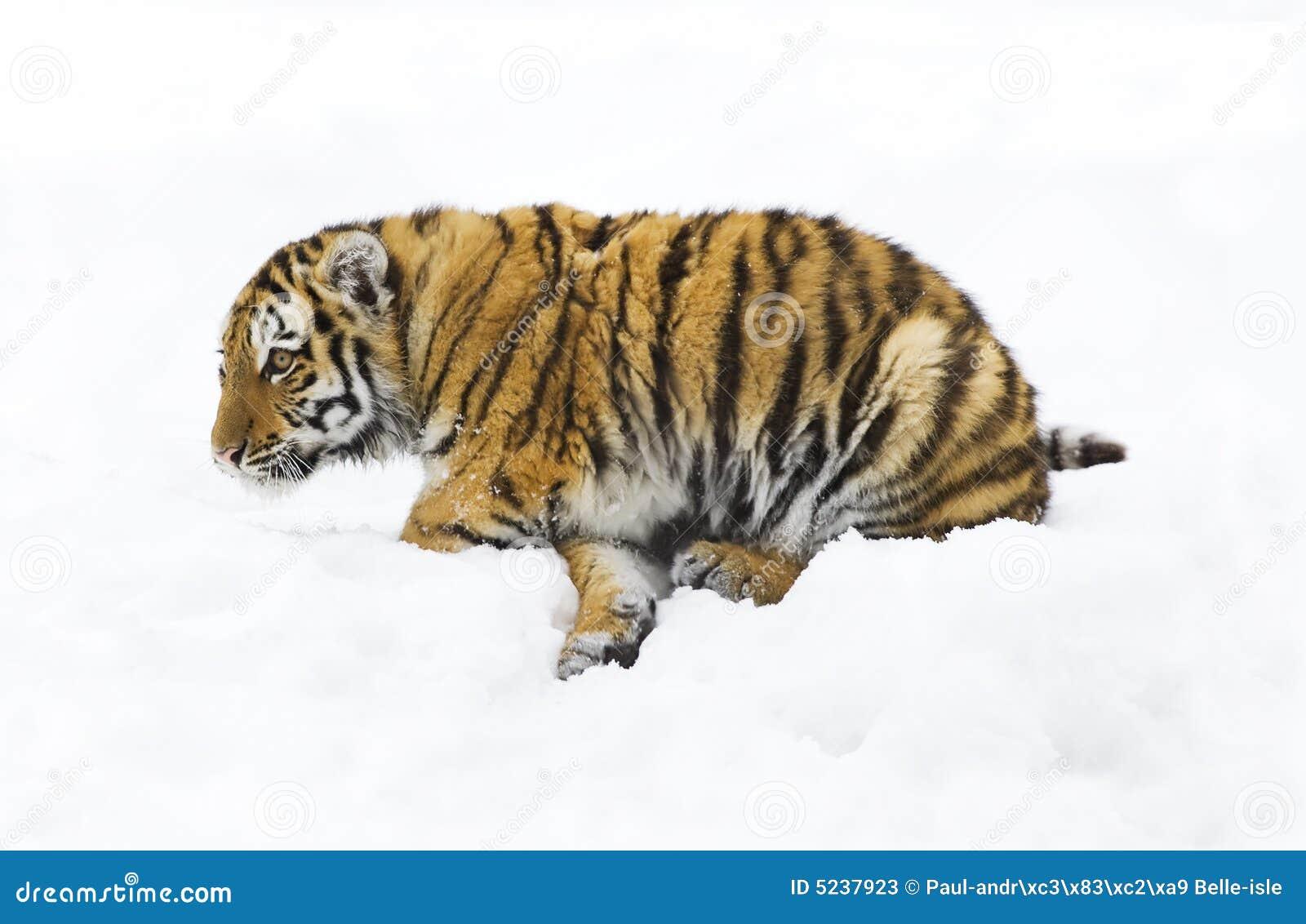 De Siberische tijger van de baby