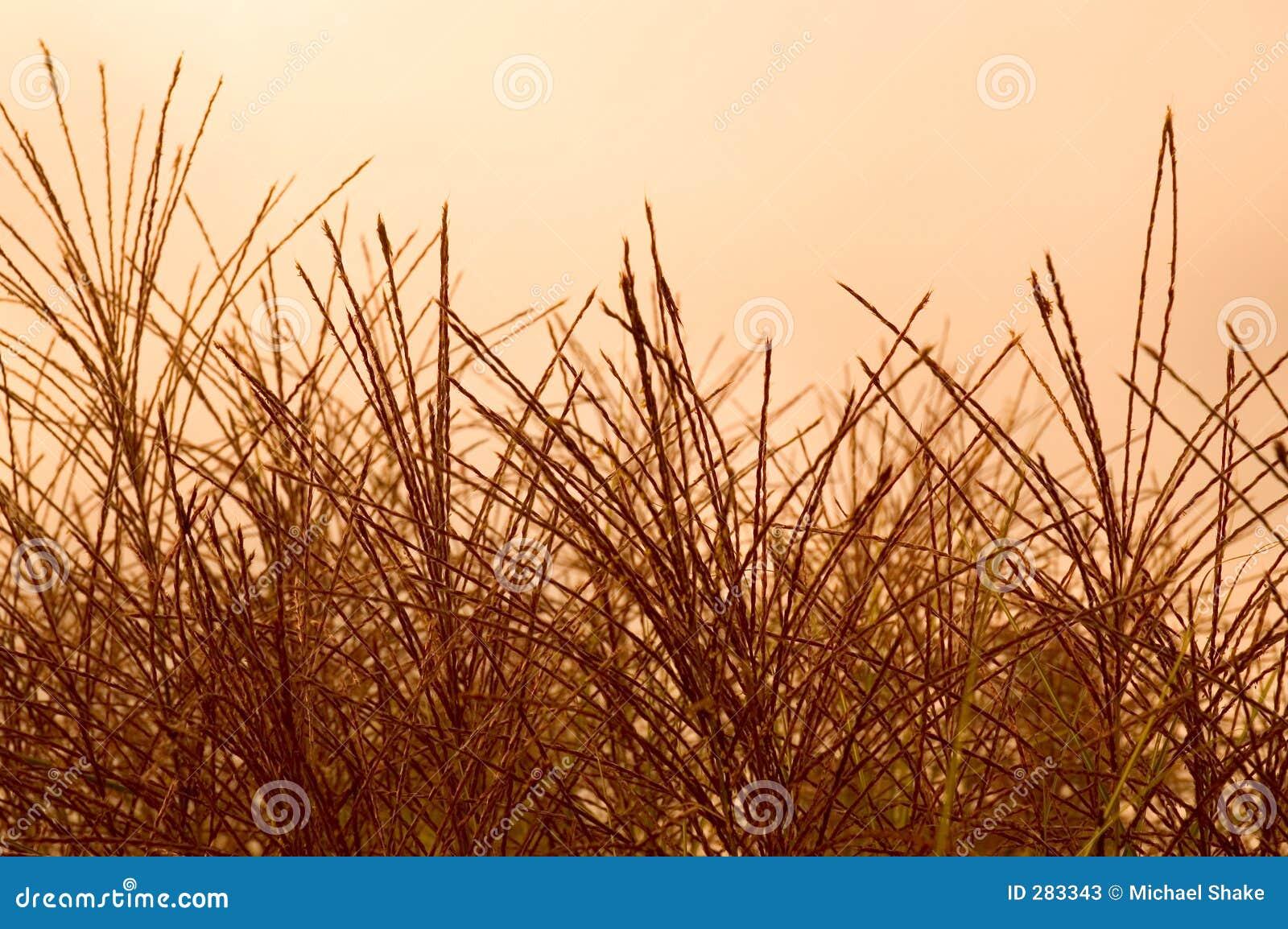 De sier zaden van het Gras
