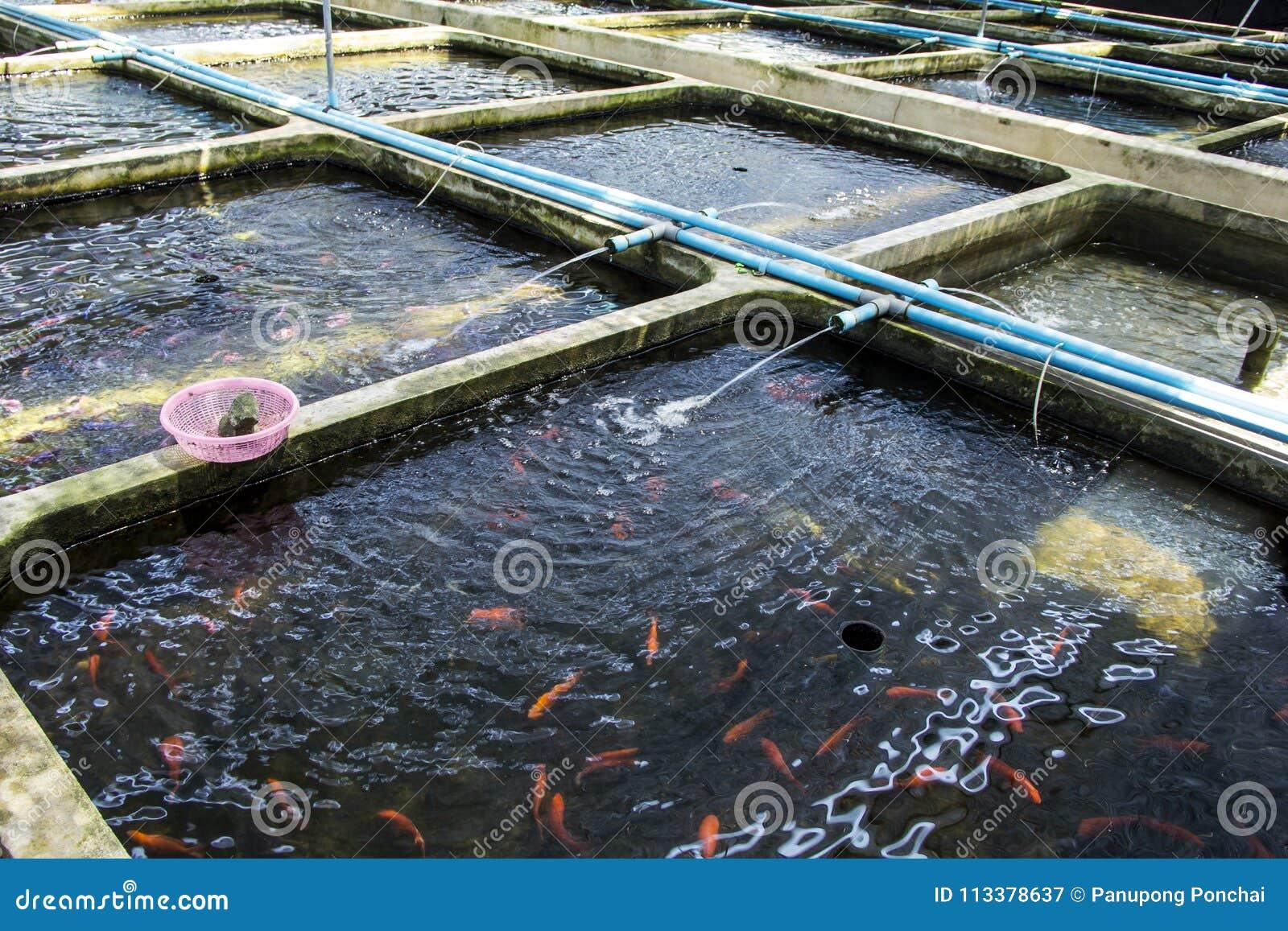 De Siervissen van het landbouwbedrijfkinderdagverblijf zoetwater in het Opnieuw circuleren van Aquicultuursysteem
