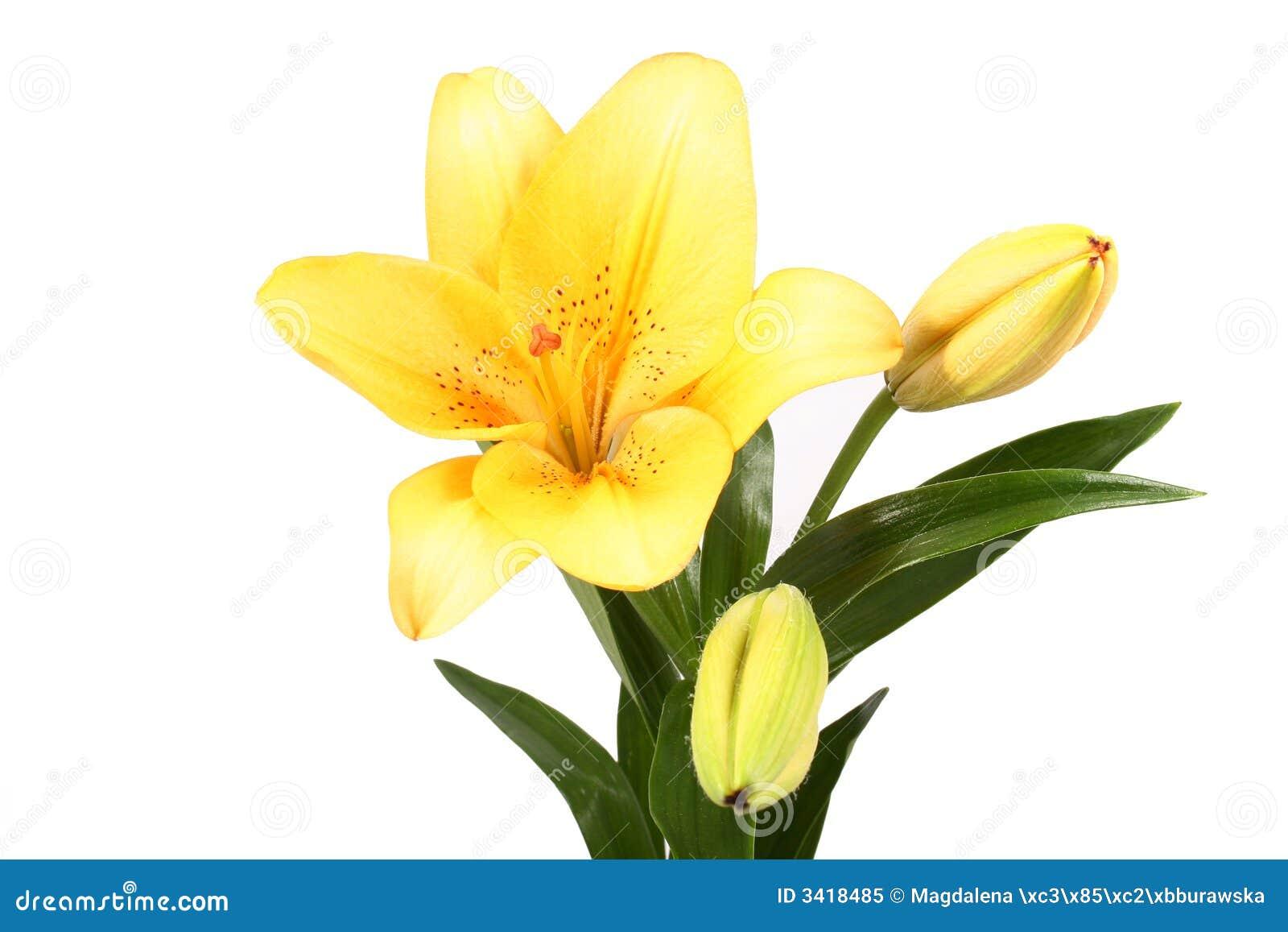De sinaasappel bloeit lilly op witte B