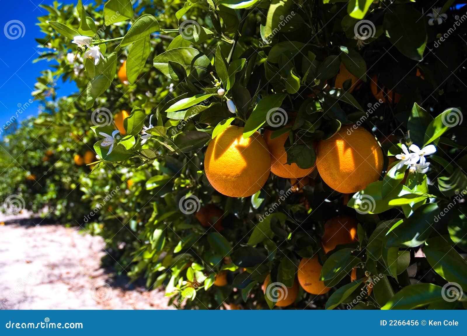 De sinaasappelen van Florida op boom