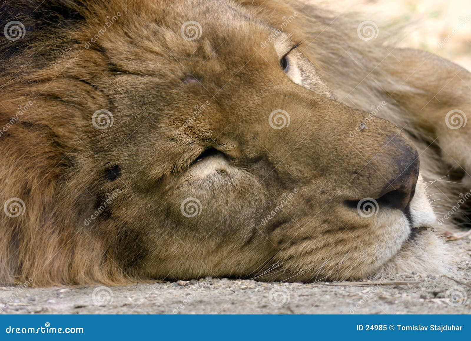 De slaap van de leeuw