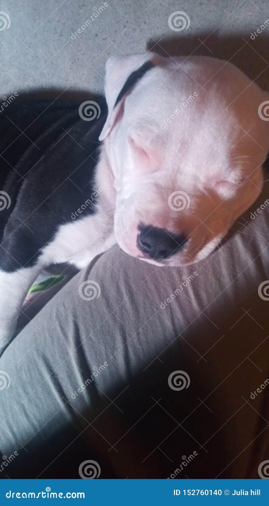De slaap van het Pitbullpuppy