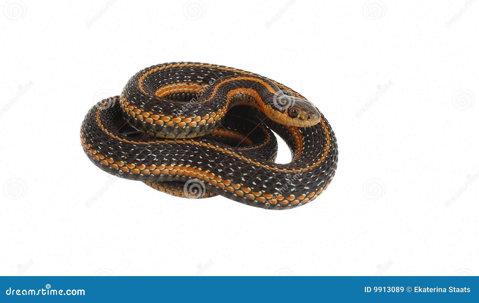 De slang van de kouseband het rollen.