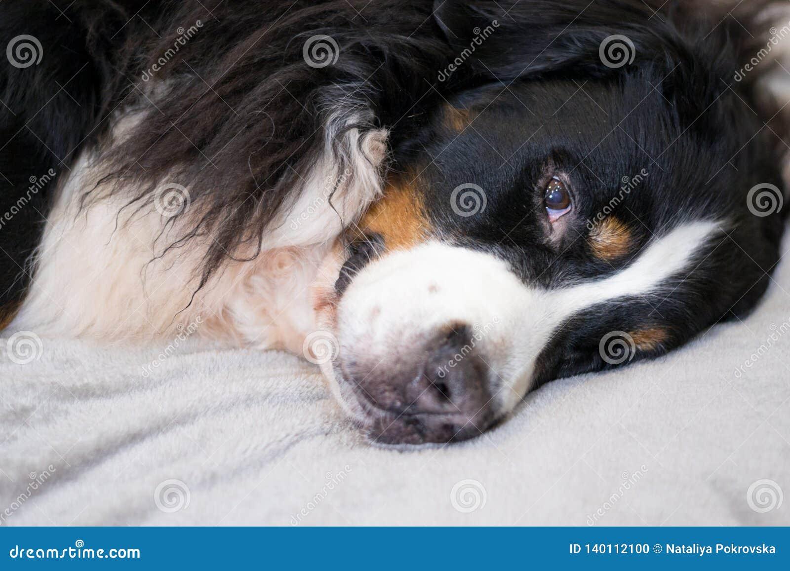 De slaperige Bernese-Berghond ligt op beige plucheplaid tijd voor slaap Comfortabel en mooi huis Familietijd het besteden