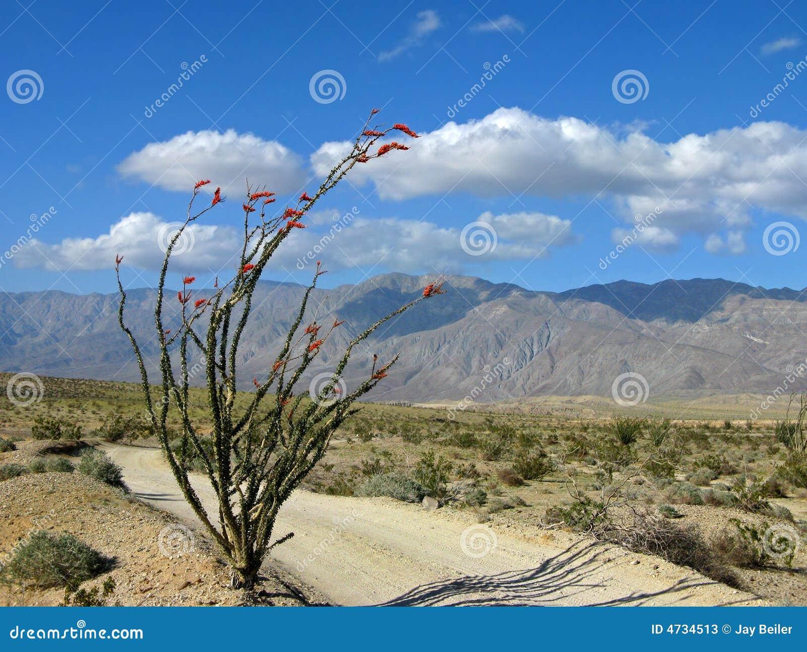 De sleep van de woestijn met ocotillo
