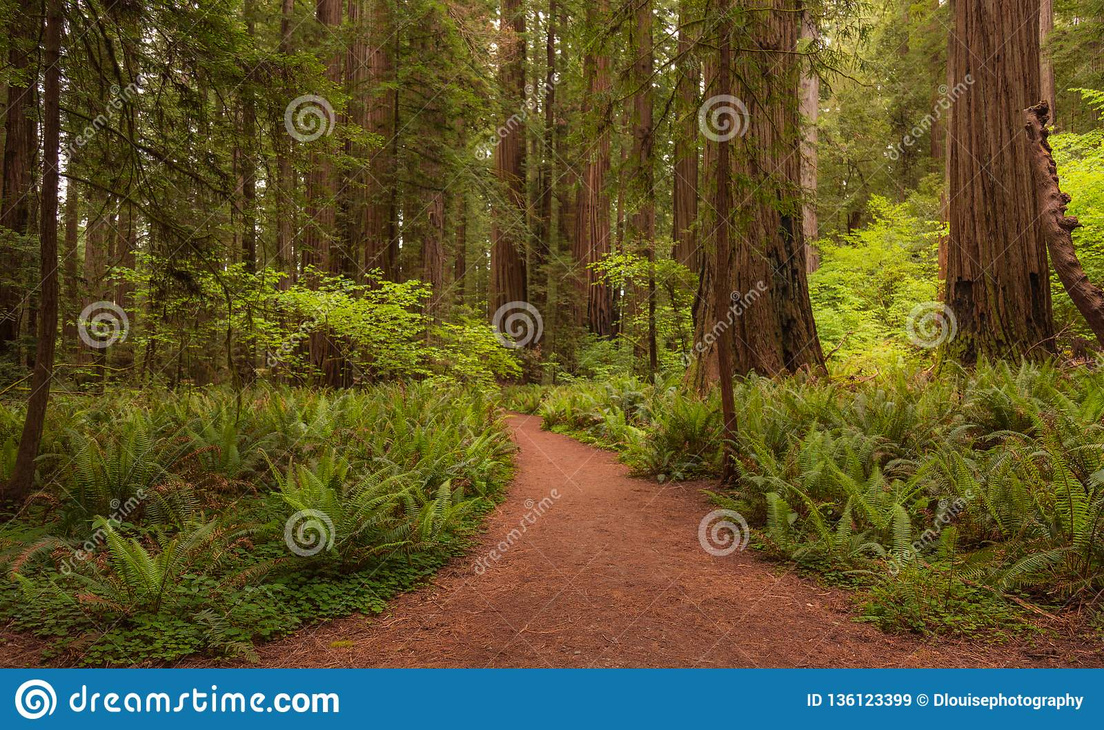De sleep van de het Parkweg van de Jedidiahcalifornische sequoia door het bos