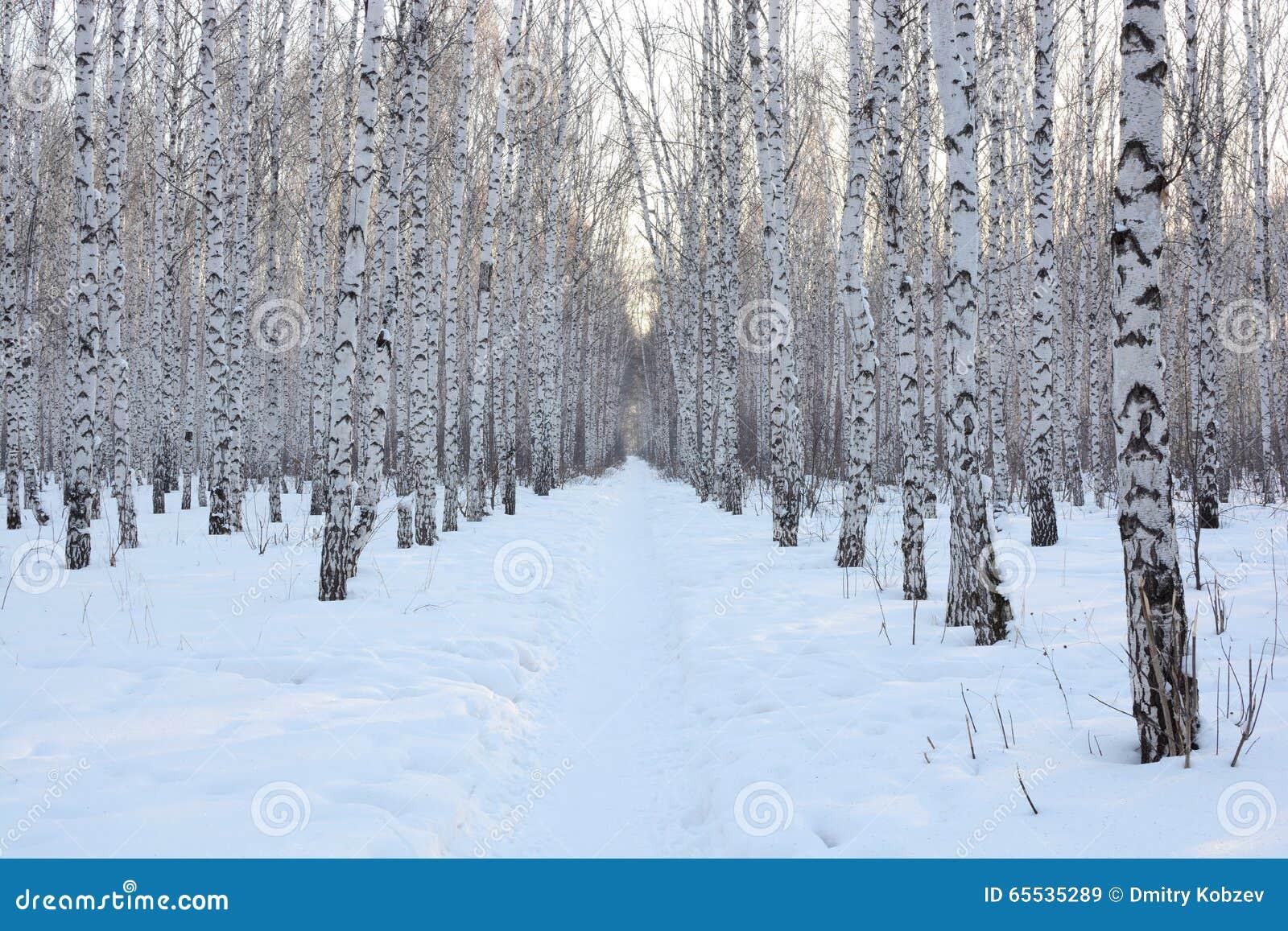 De sneeuw van de berkwinter