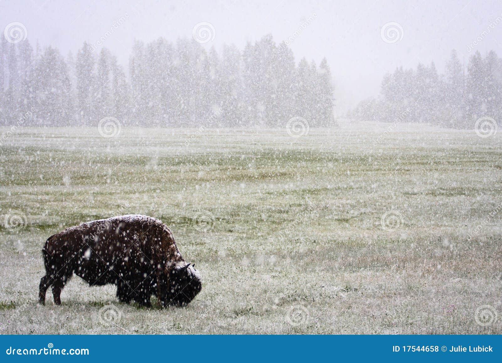 De Sneeuwstorm van juni en Bizon, Yellowstone