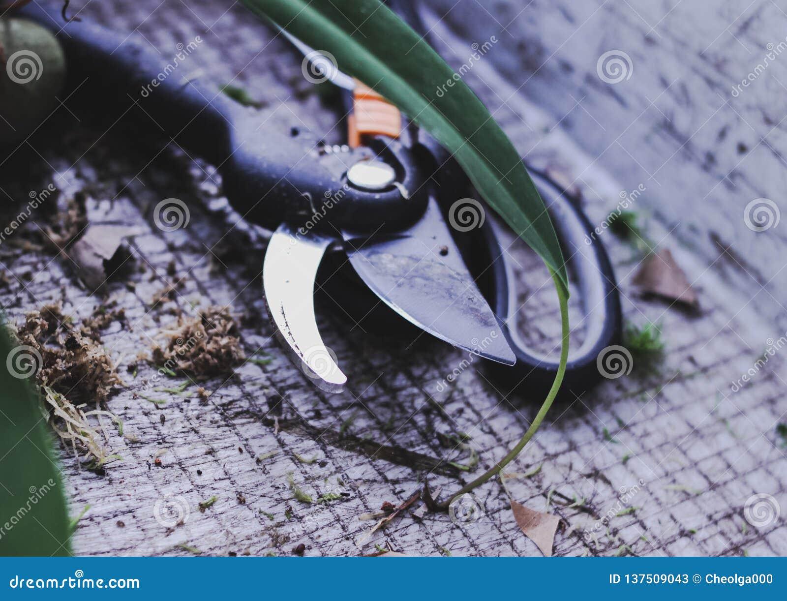 De snijder van tuinhulpmiddelen, schaar het overplanten van bloemen in de lente