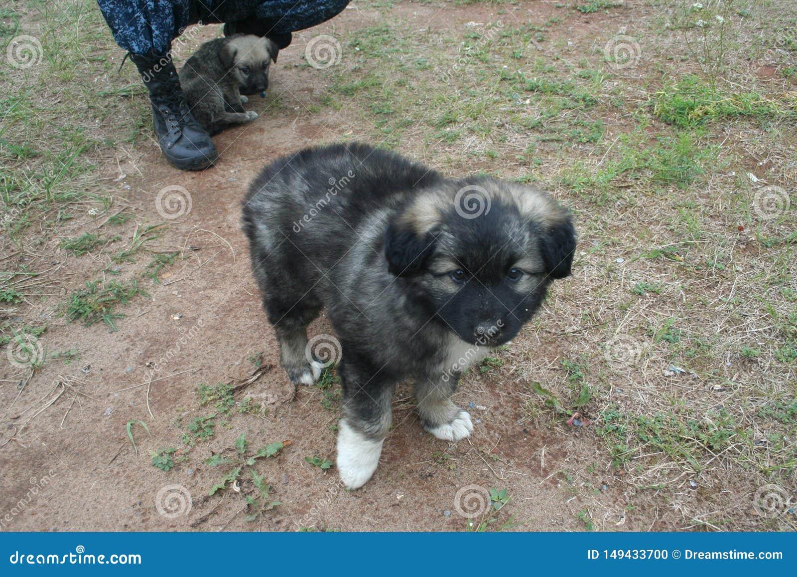De soort weinig puppy met wit handtastelijk wordt - de zoon van een grote herder